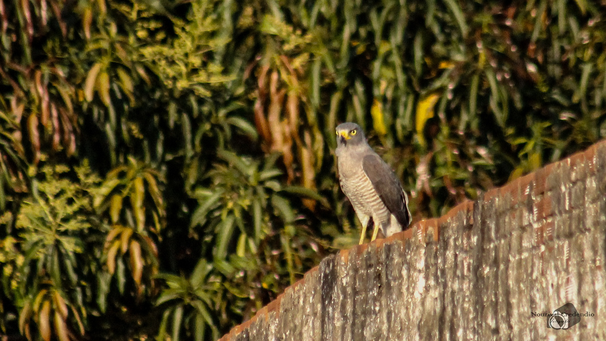 Sparrow-hawk (Accipiter bicolor) by Nourival Credendio Junior