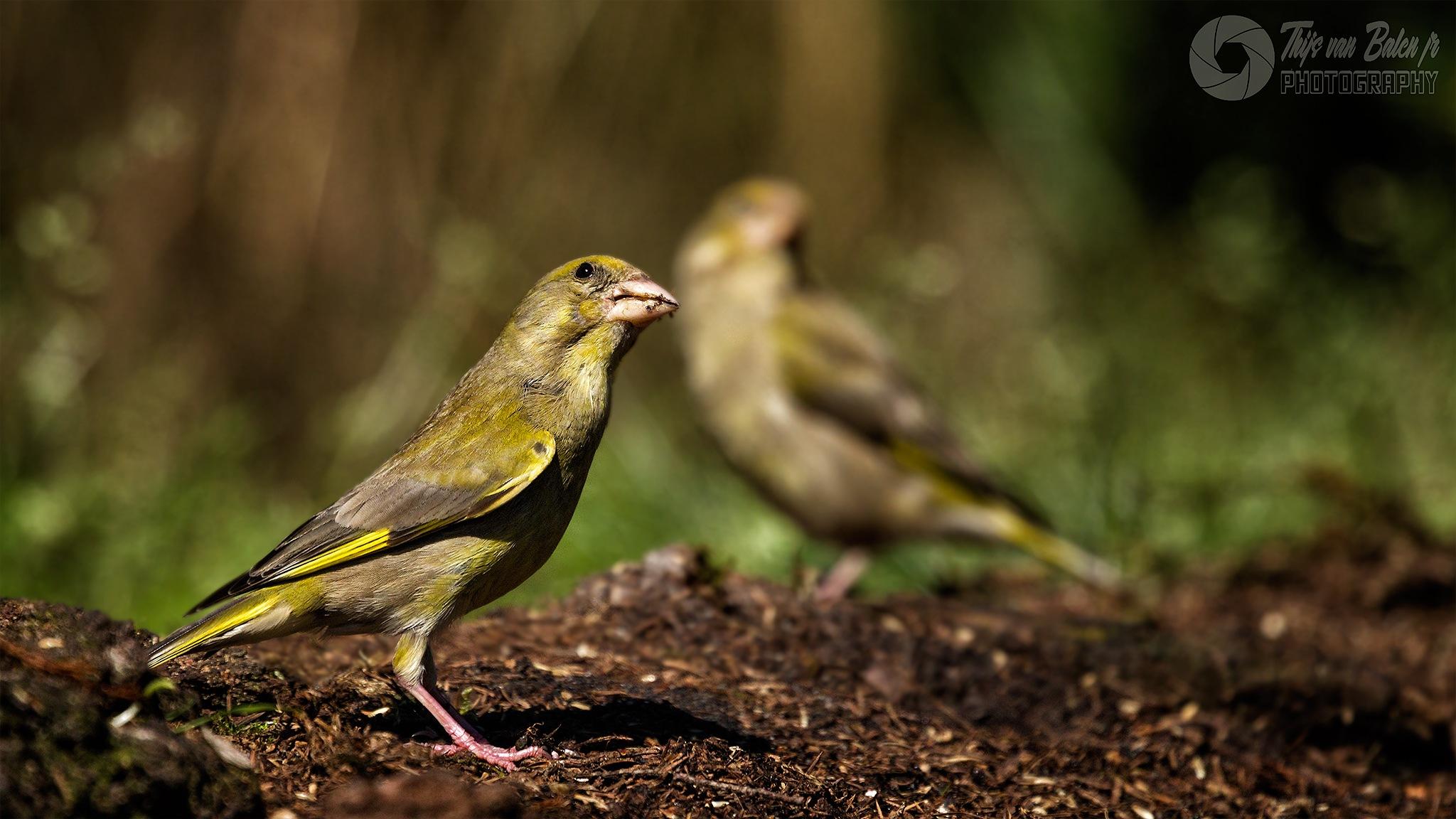 European greenfinch (Chloris chloris) by Thijs van Balen Jr