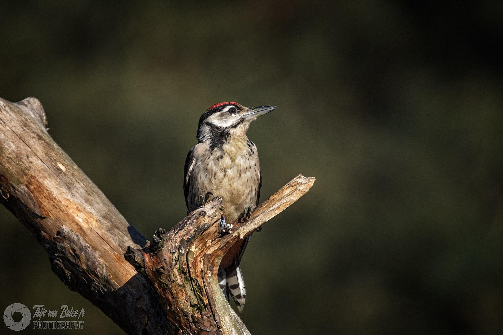 Great spotted woodpecker(Juv) by Thijs van Balen Jr