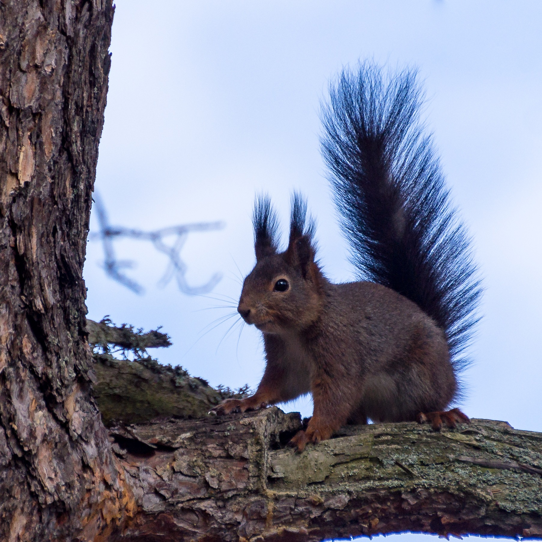 Squirrel with his tail by André Vidén