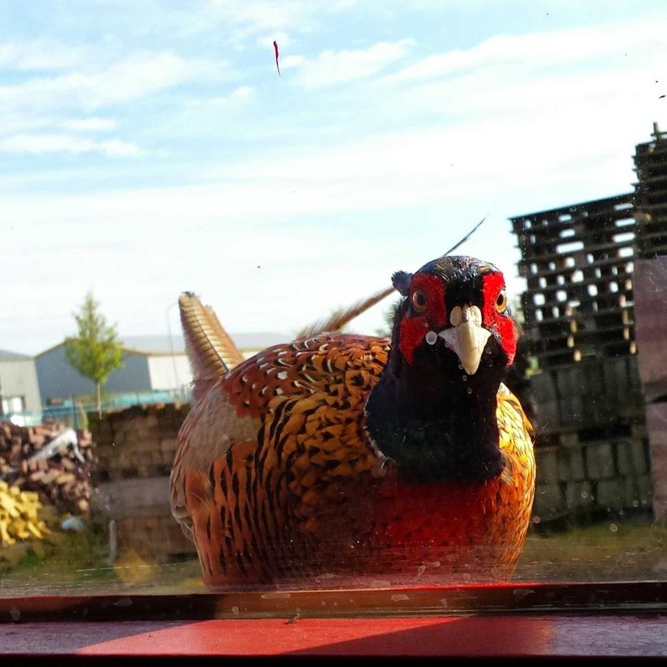 Pheasant fazant  by Rik Ananias