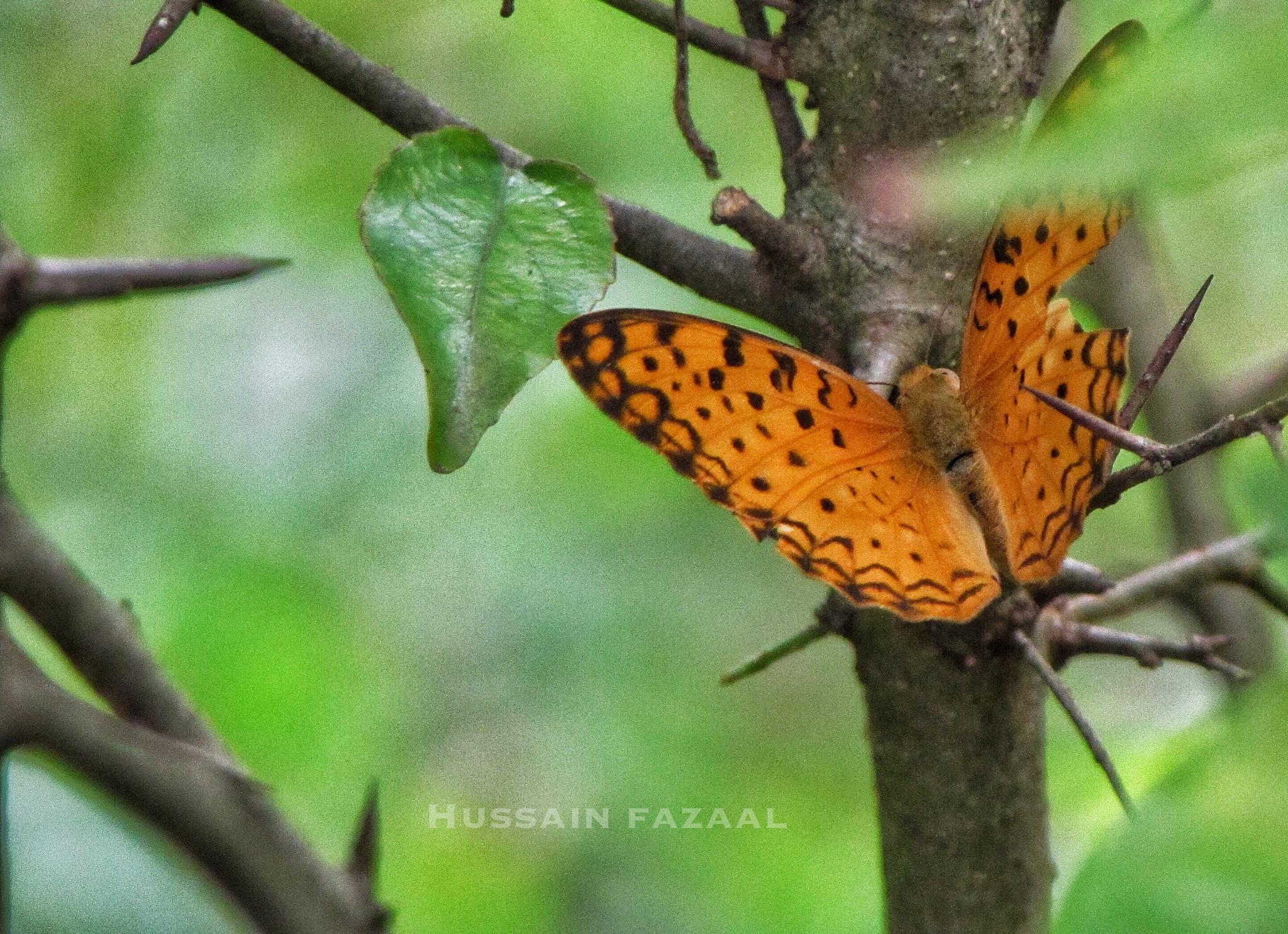 Butterfly in my garden by Hussain Fazaal