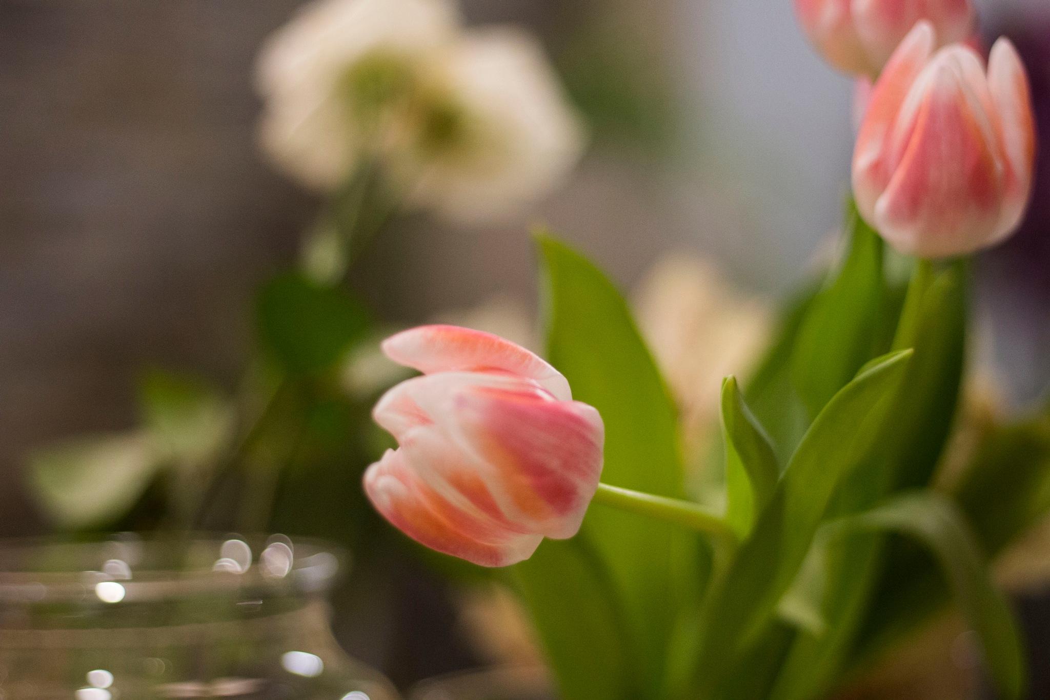 Pink tulips. by Vivien Virgínia