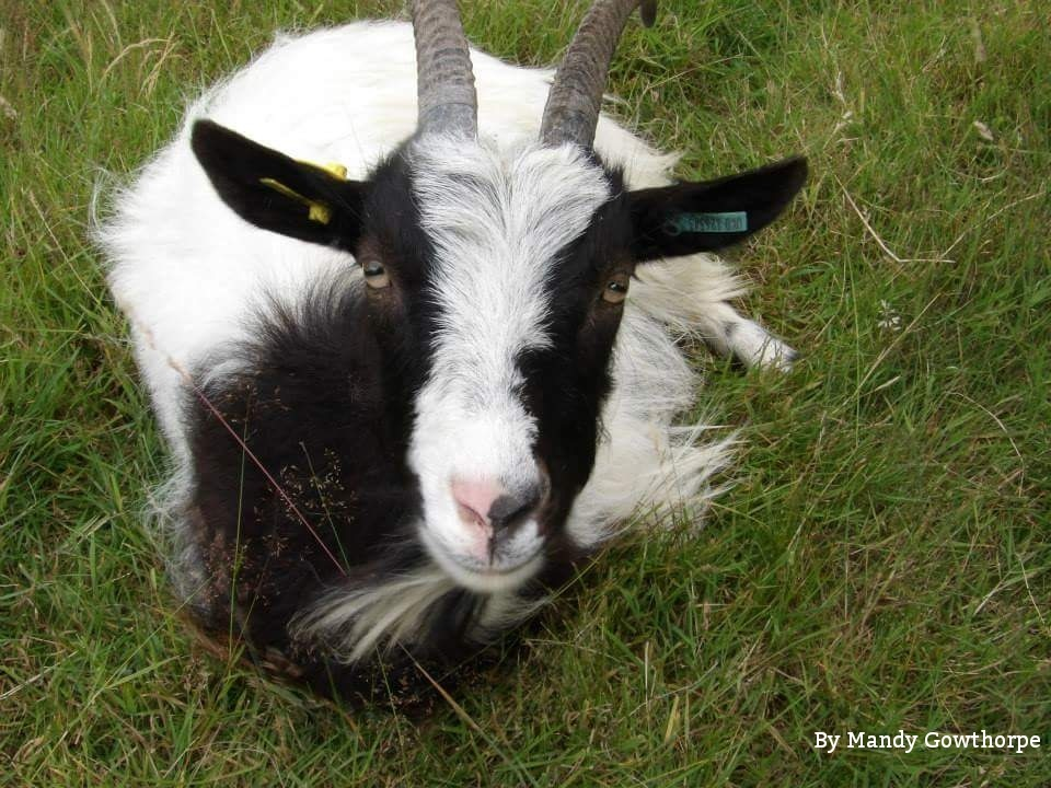 Goat by mandy gowthorpe