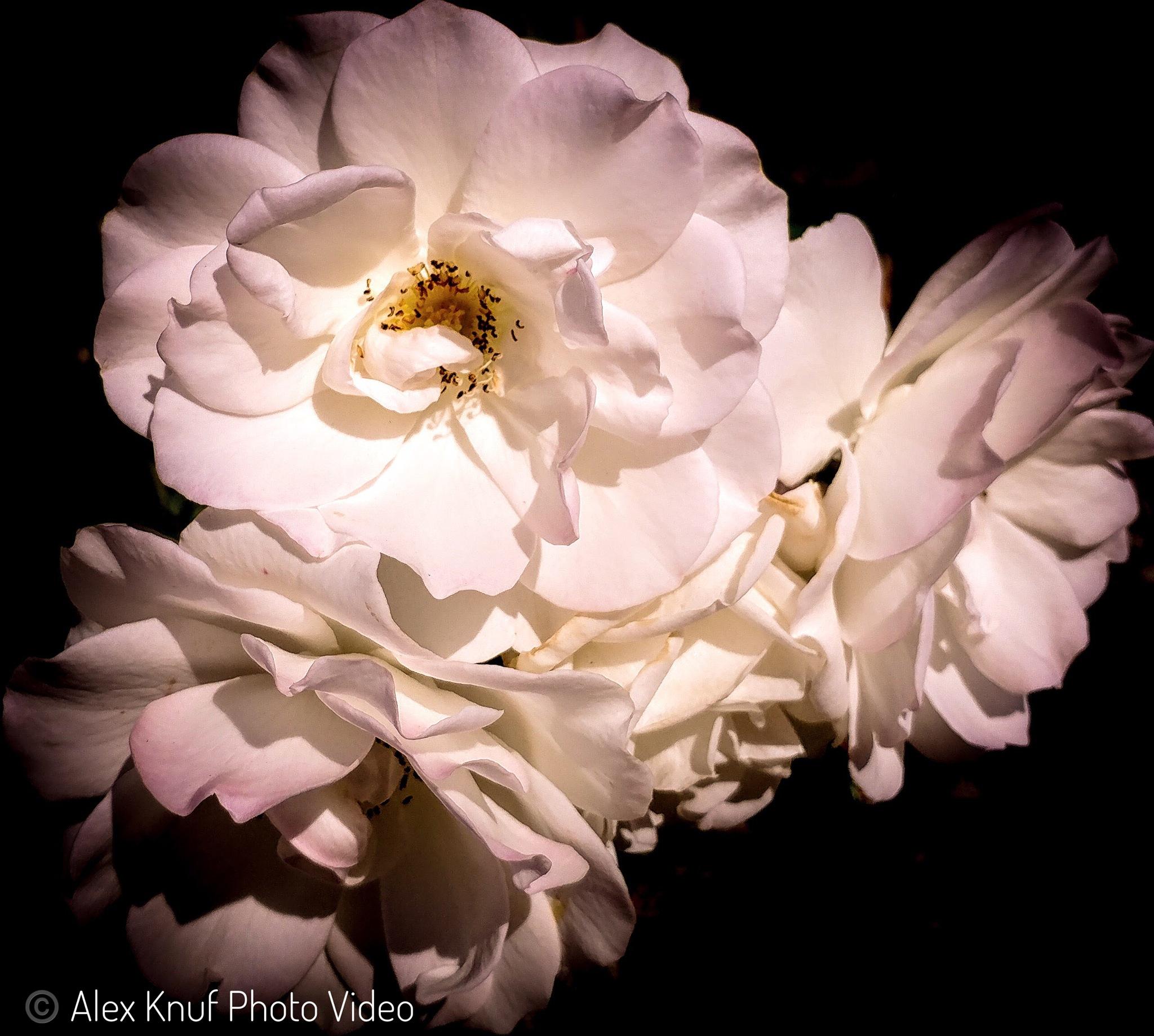 Trio of Flowers by Alex Knuf Photo Video