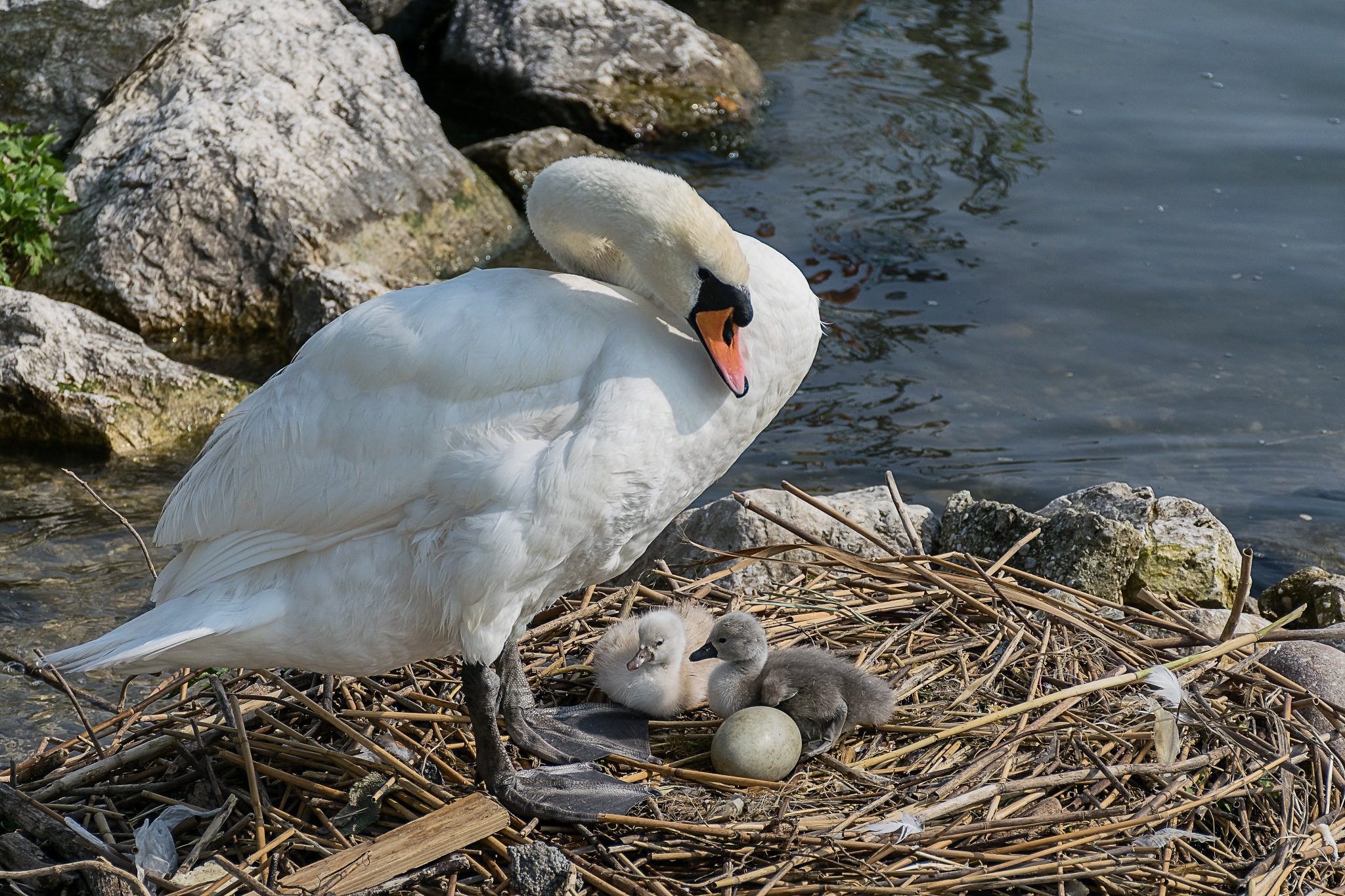Swan family by Mauro De Vita