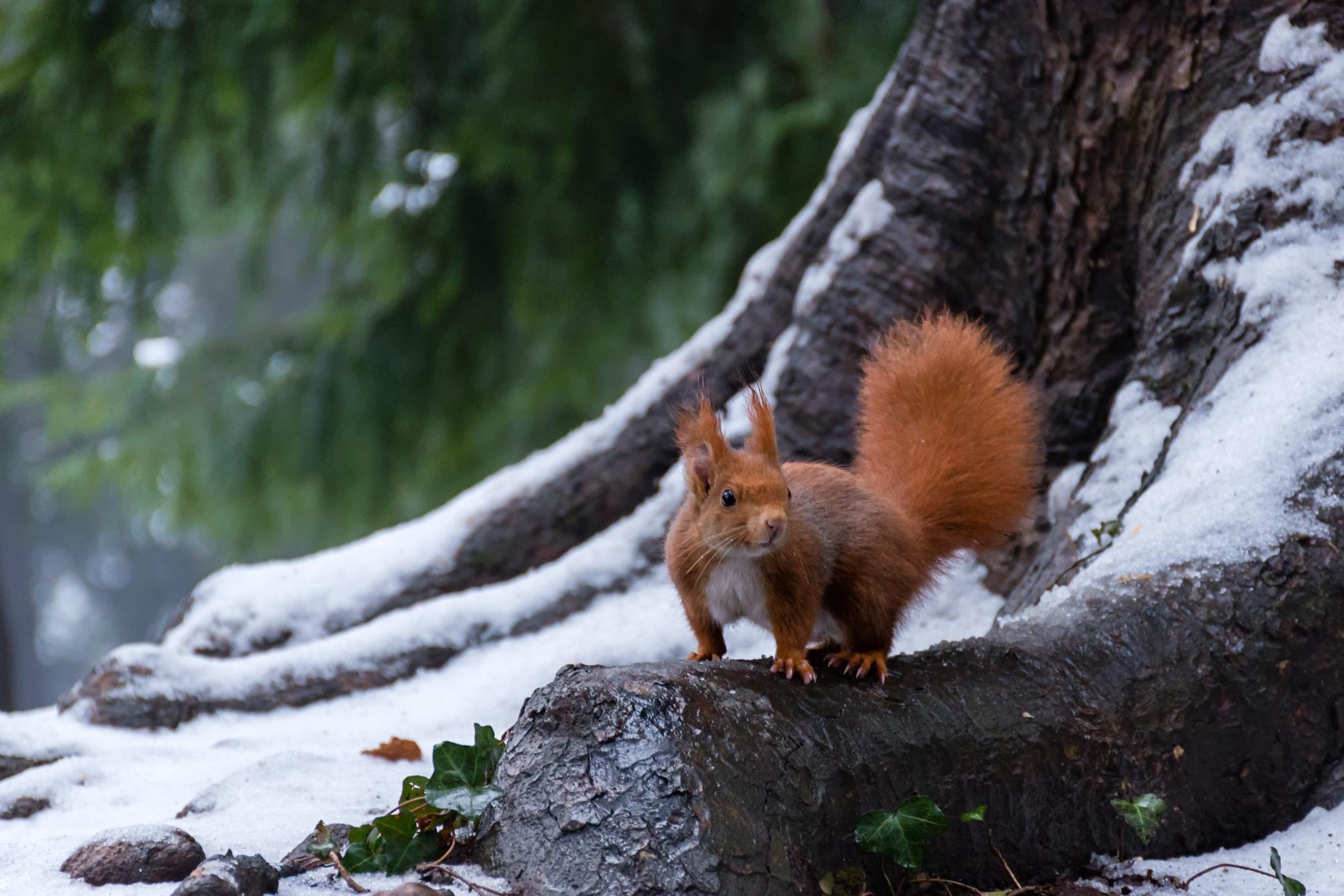 Photo in Animal #wildlife #wild #nature #squirrel #tree #snow #day #winter #park