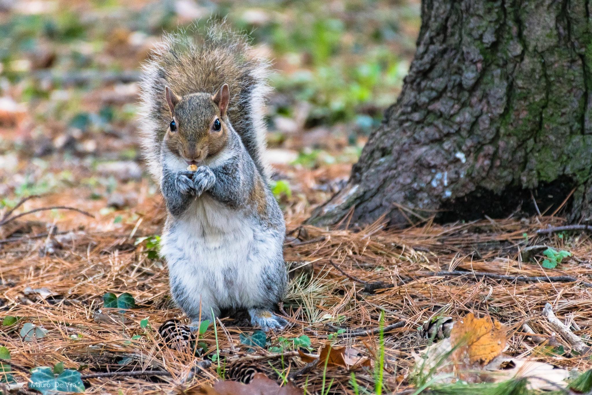 Squirrel by Mauro De Vita