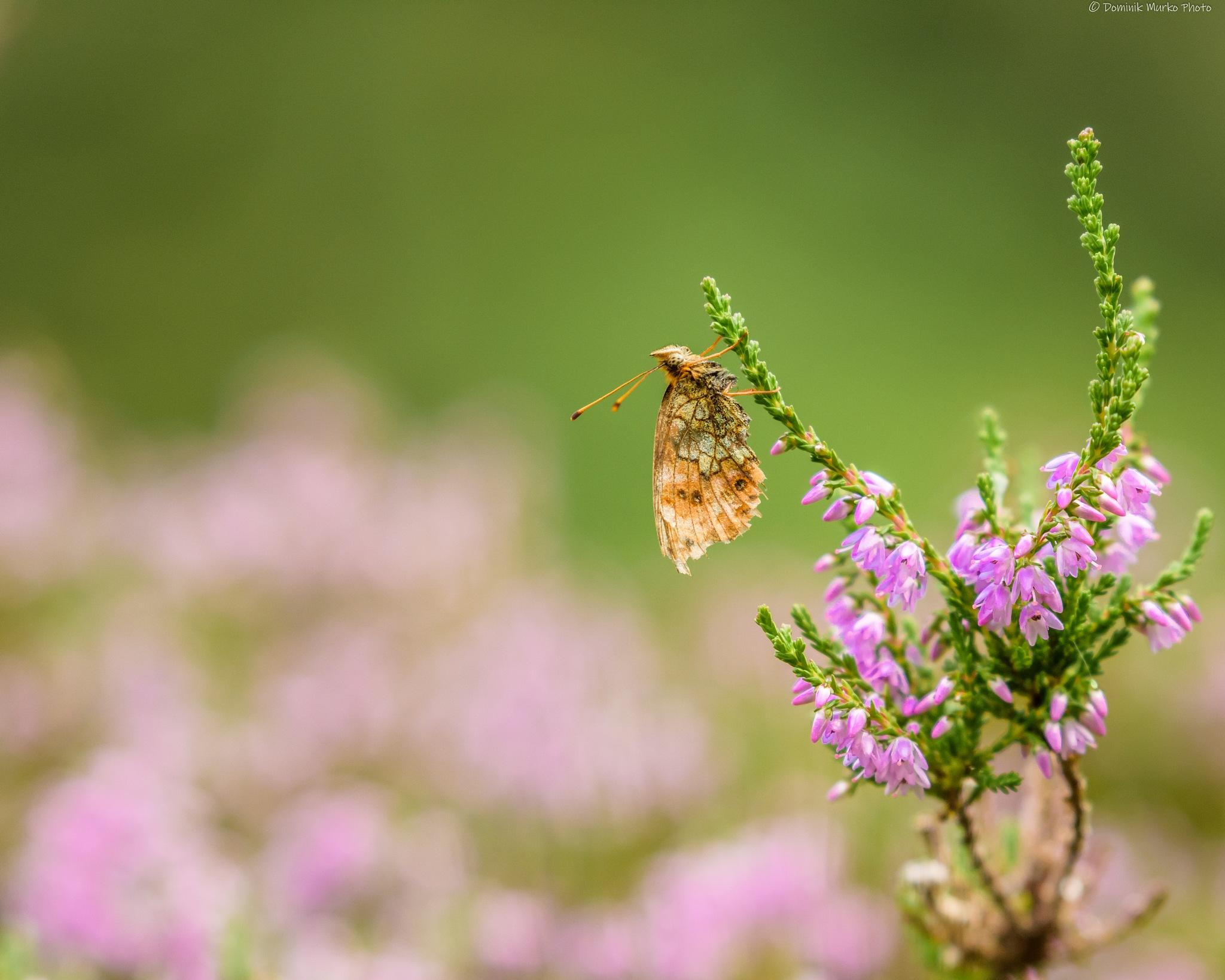 Butterfly by Dominik Murko