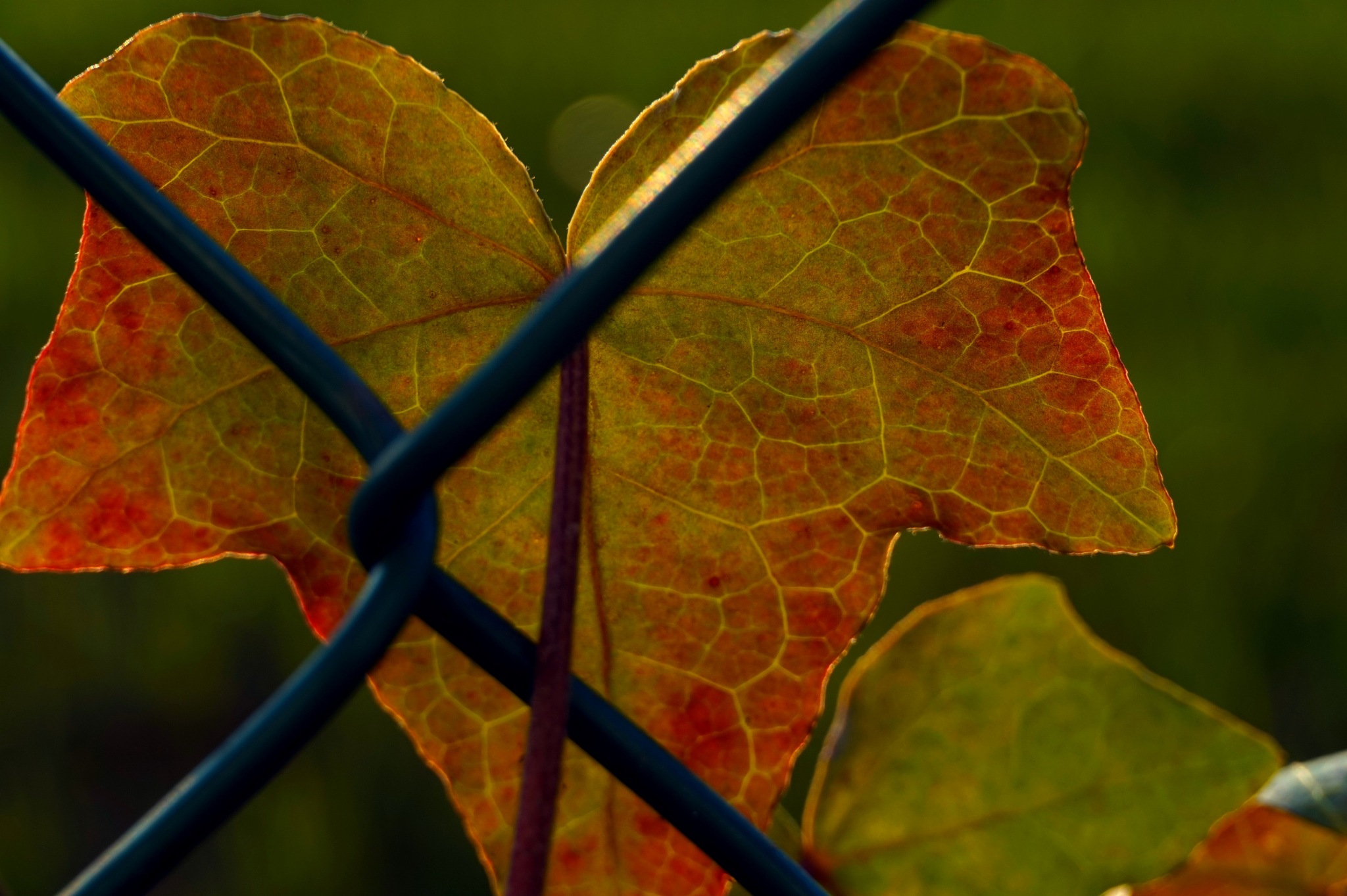 Ivy leaf by Cinquantotto