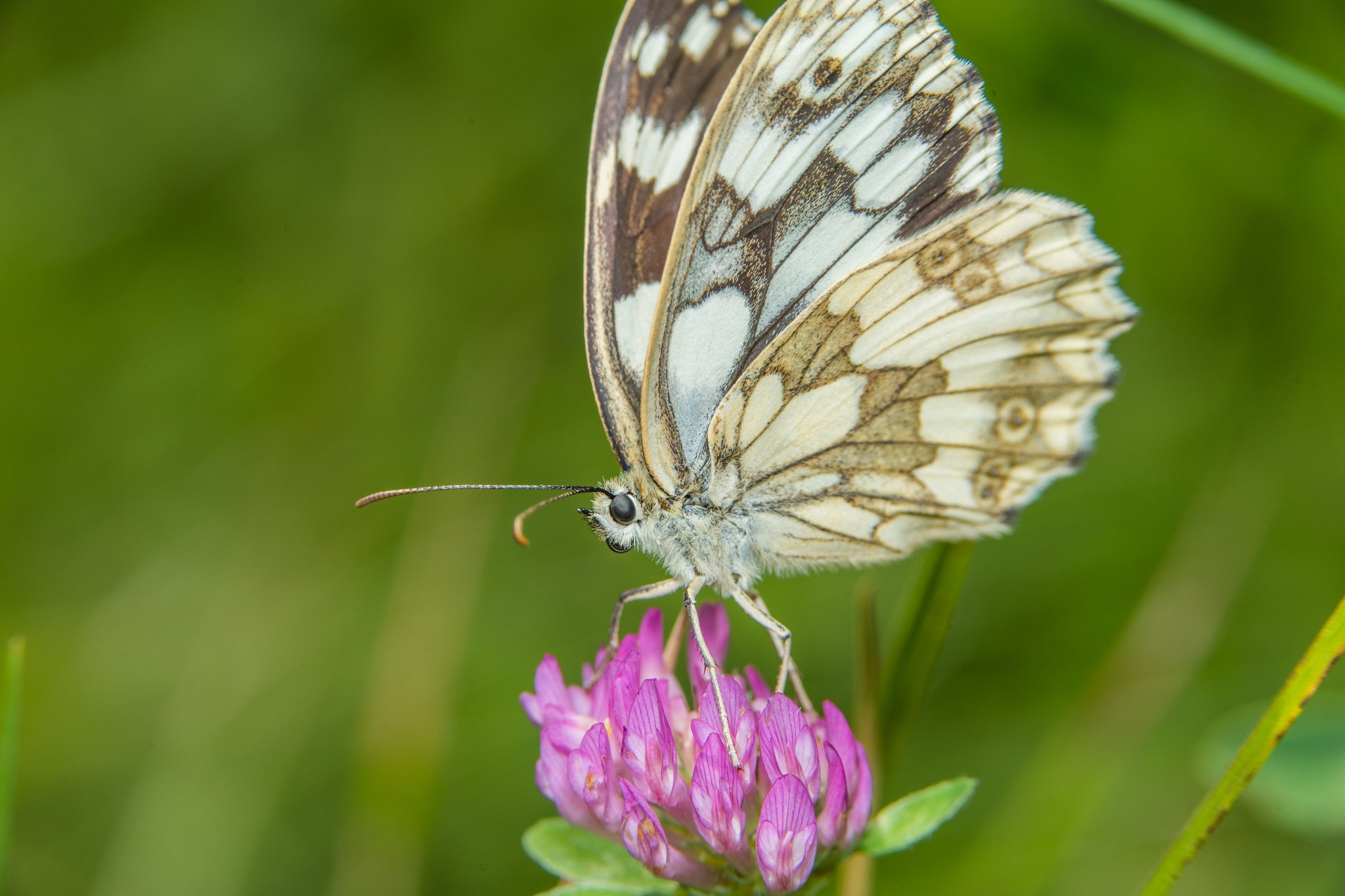 butterfly by Kurt Hohenbichler