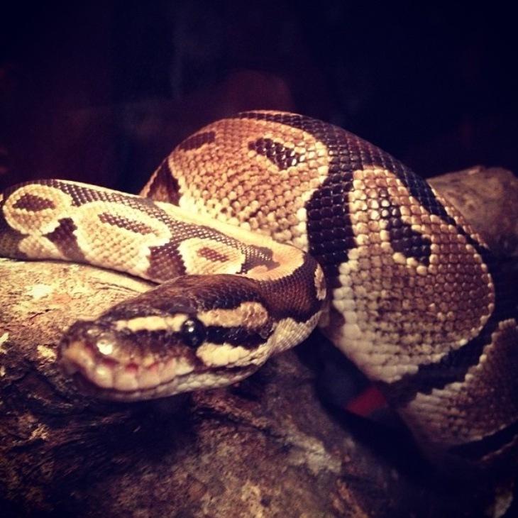 Python Regius~ by BeccaLynn