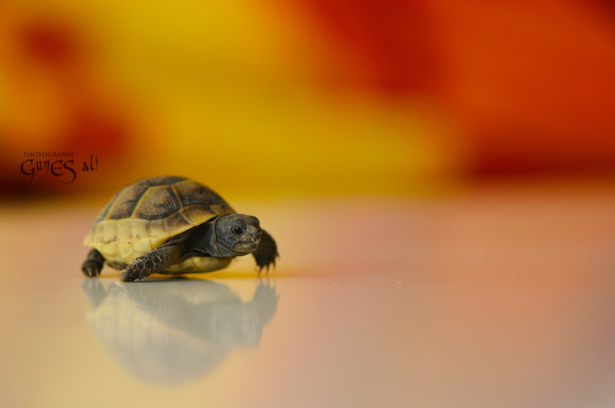 kaplumbağa by gunesali.photography