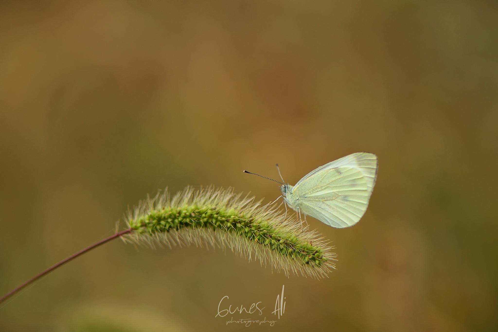 kelebek by gunesali.photography