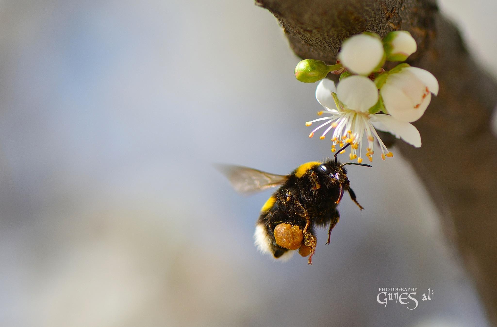 arı by gunesali.photography