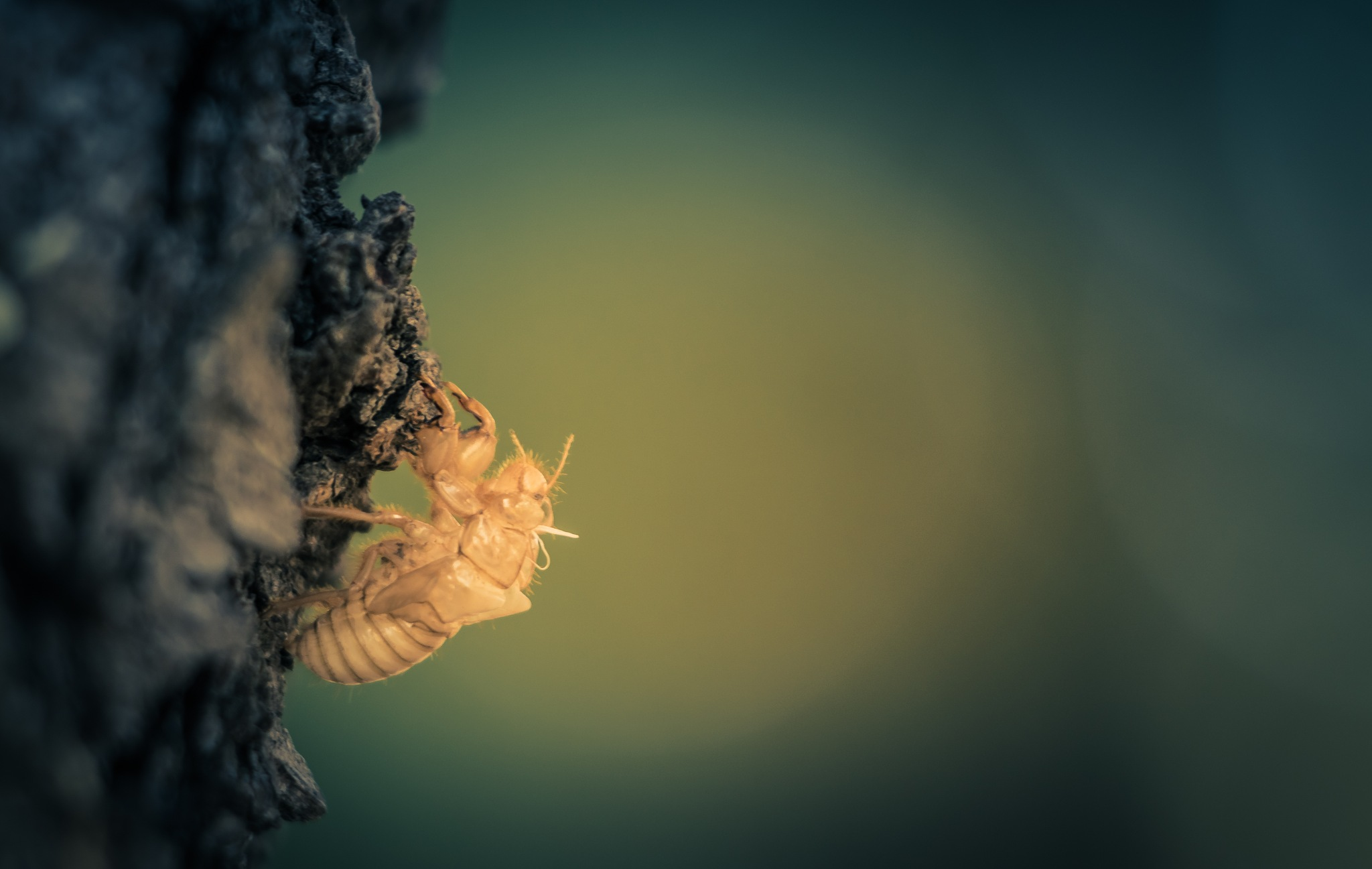 Cicada moult ... by Jean-Charles C.