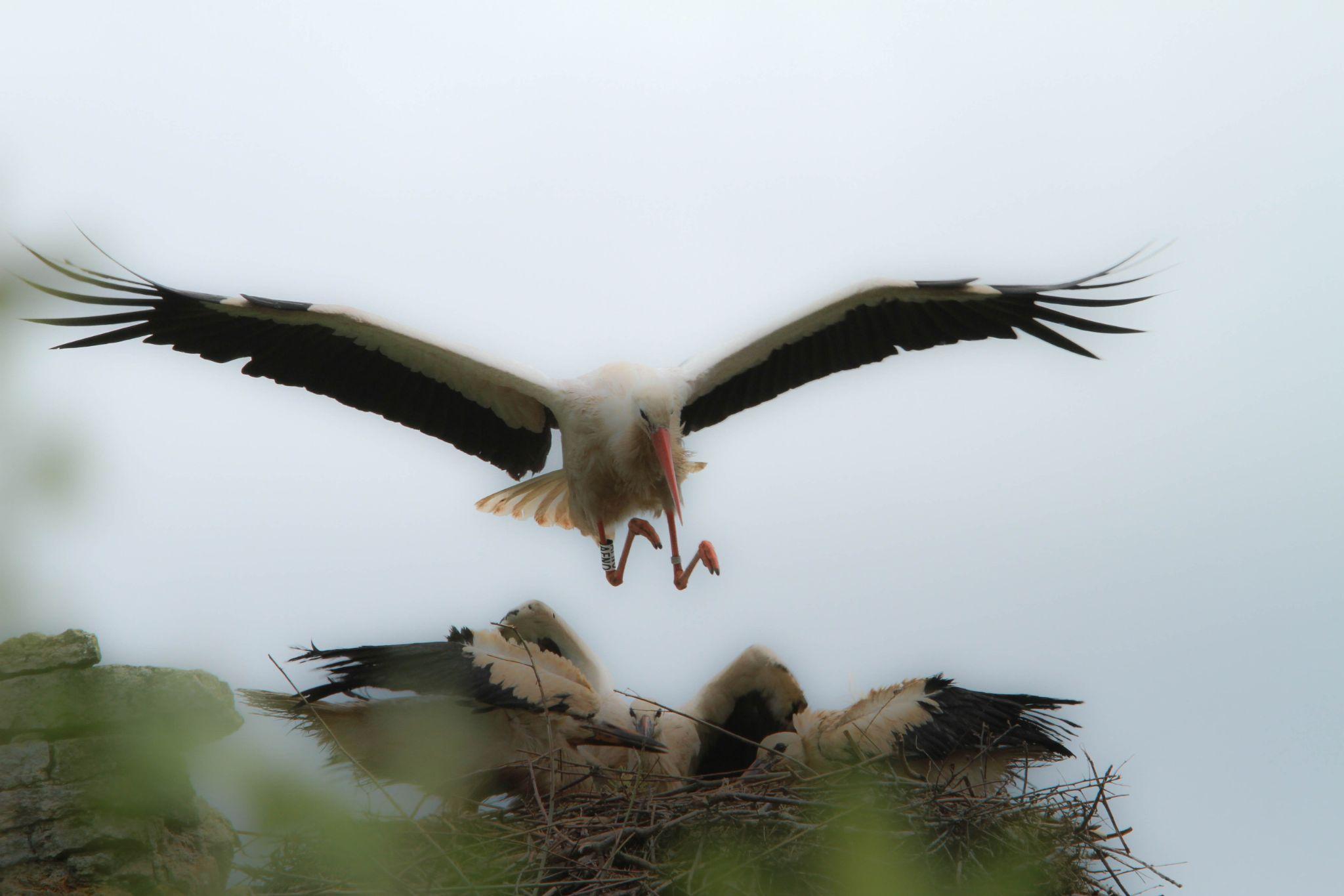 stork by emmanuel liegeois