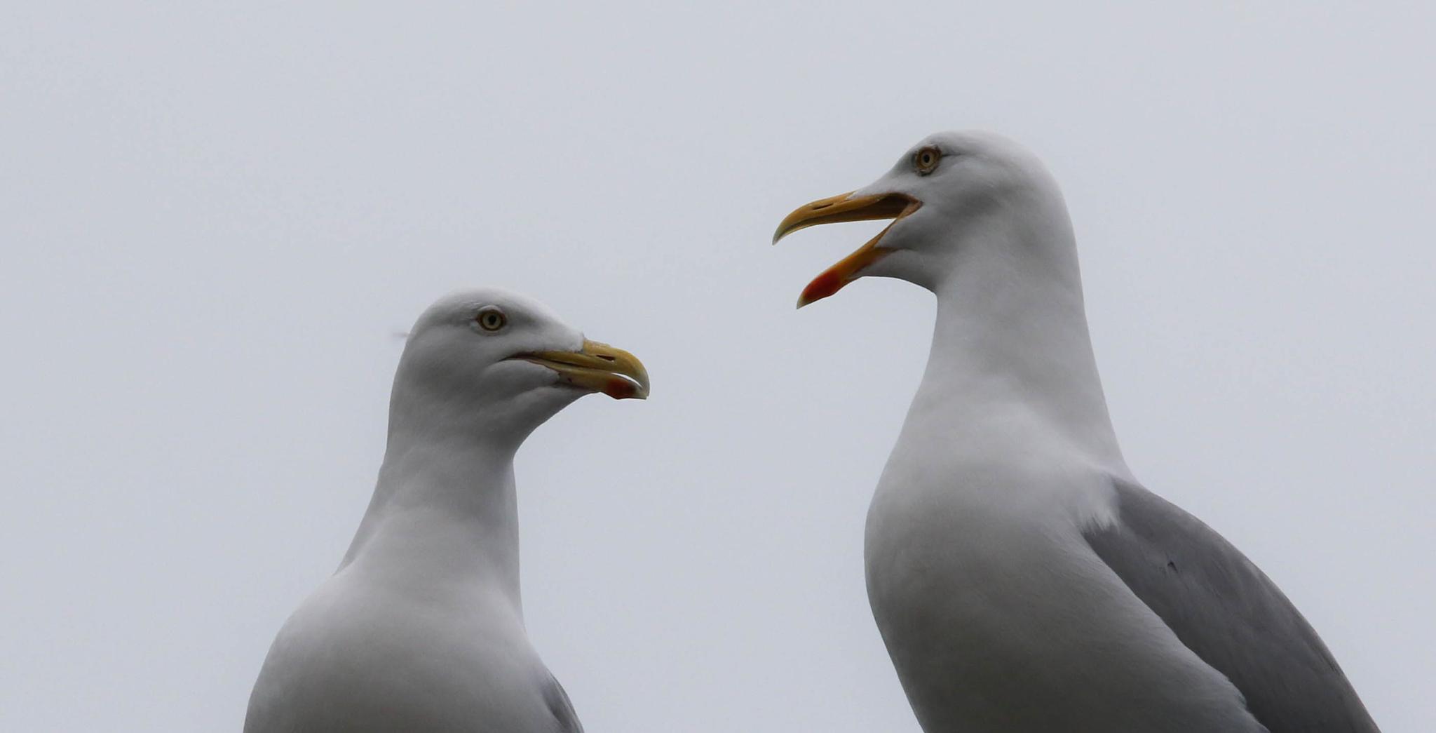Gull by emmanuel liegeois