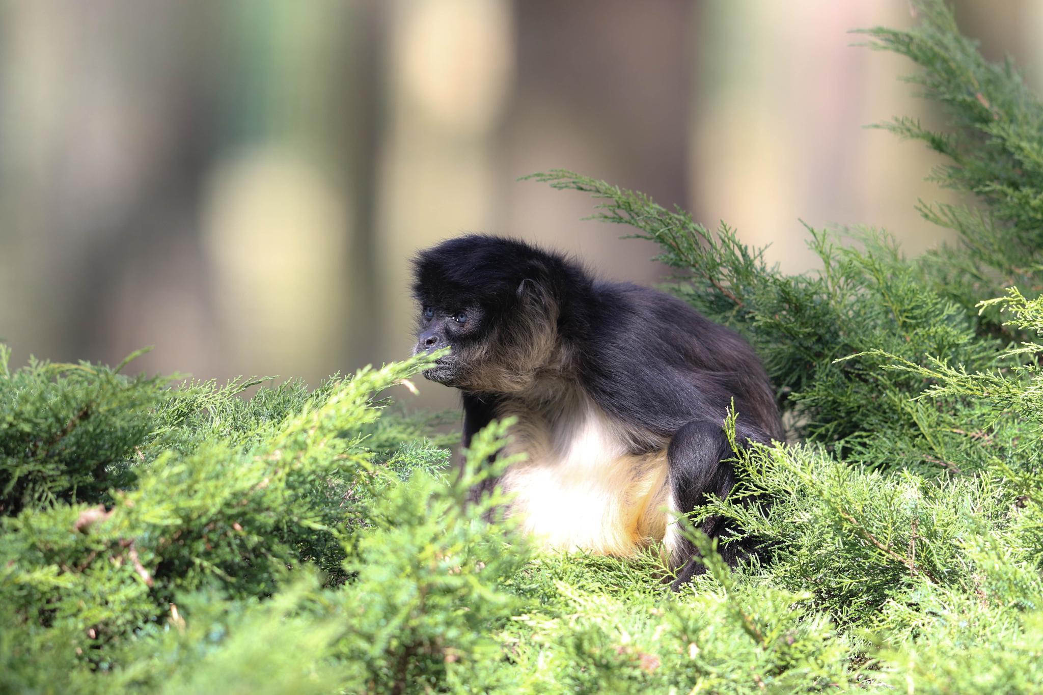 gibbon by emmanuel liegeois