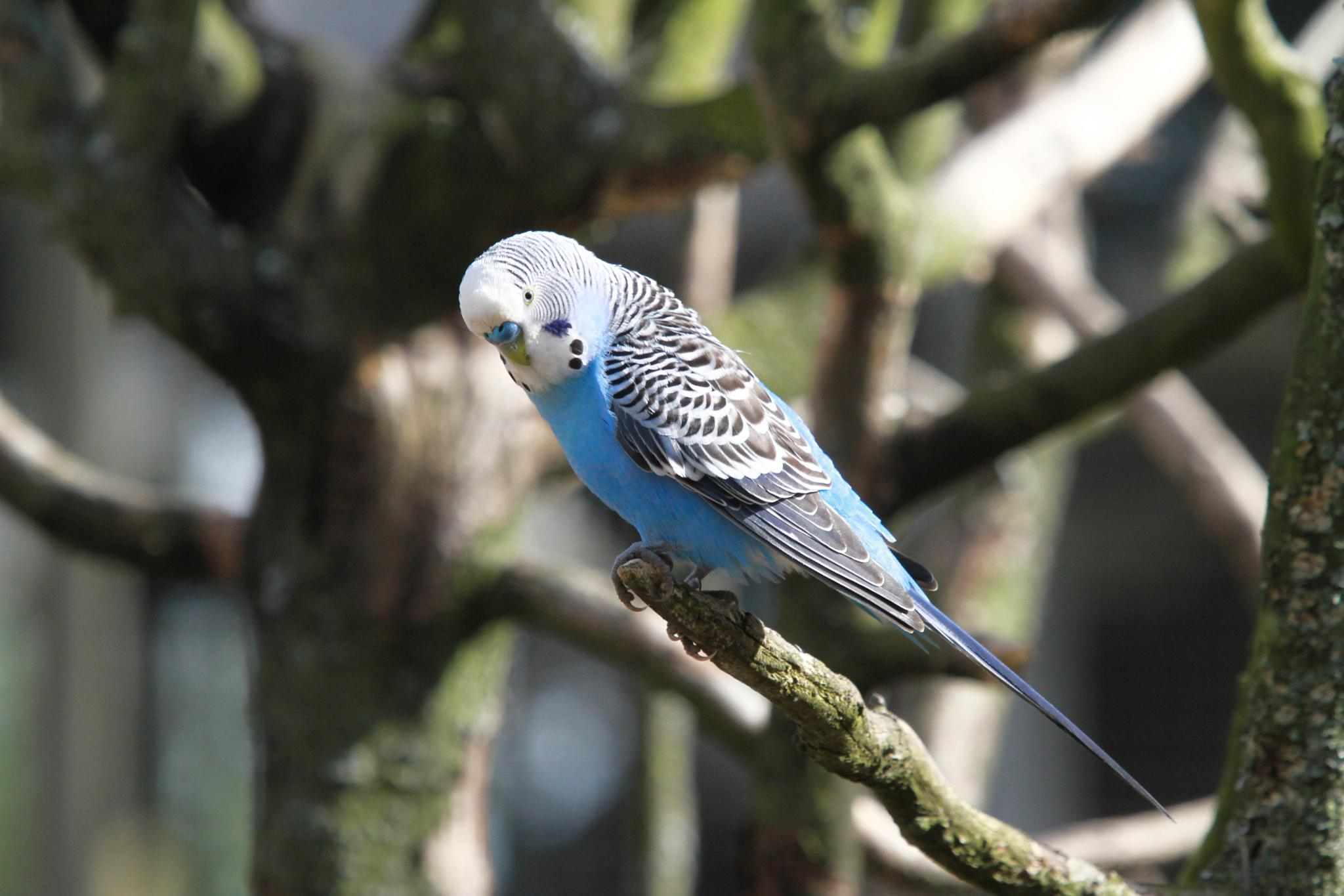 parakeets by emmanuel liegeois