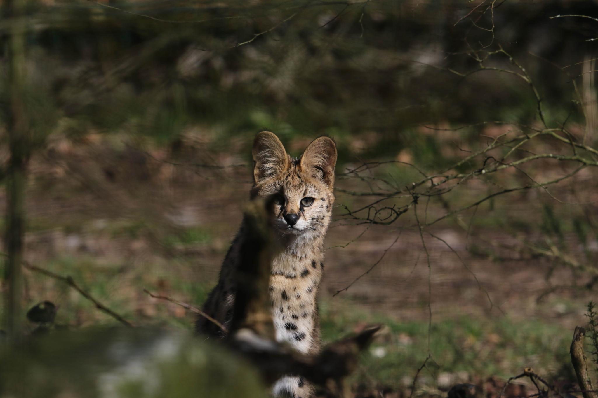 young serval by emmanuel liegeois