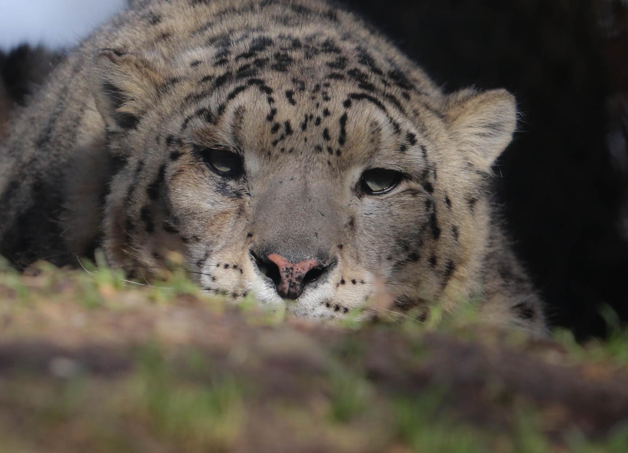 snow leopard by emmanuel liegeois