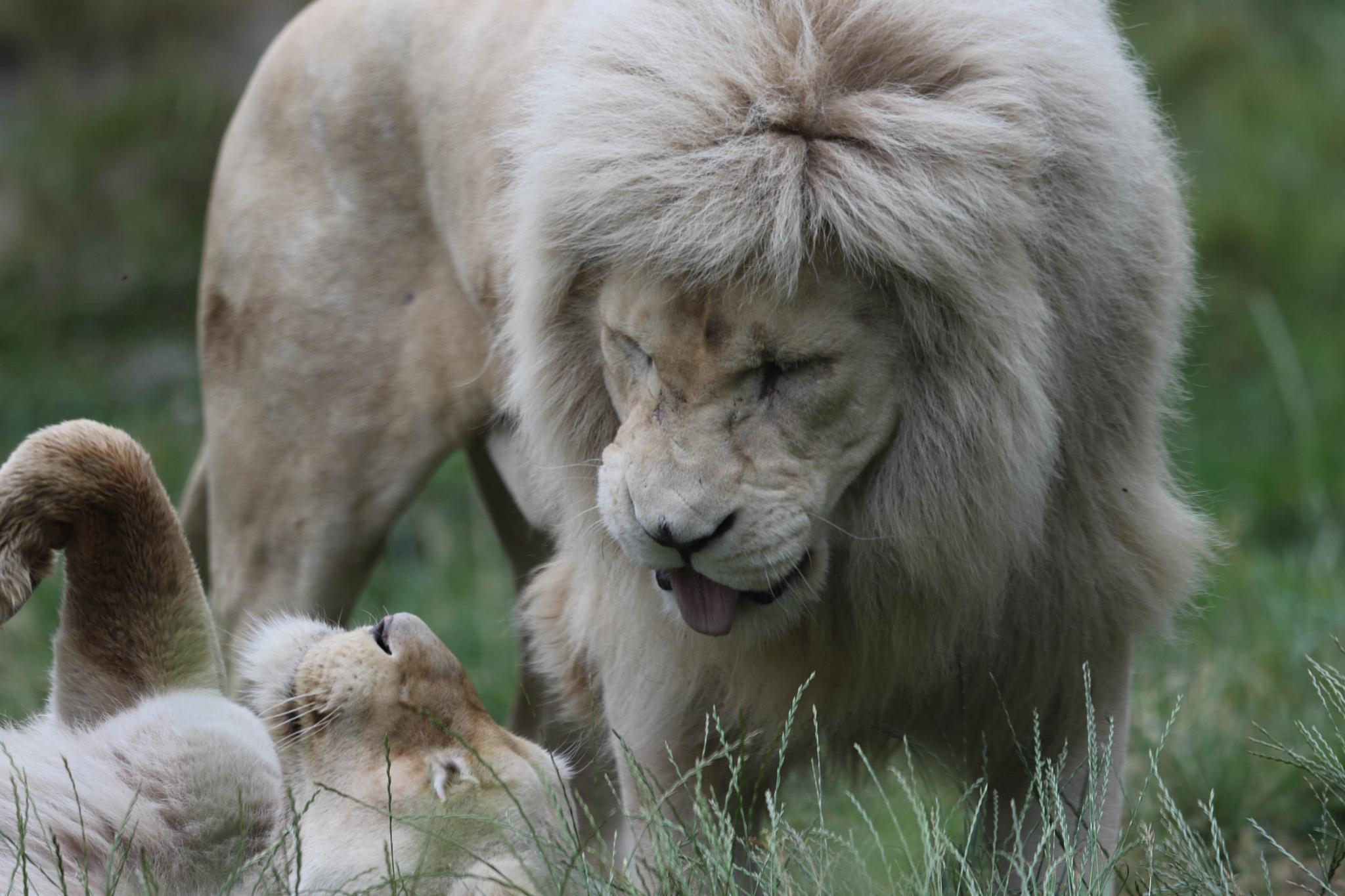 lion by emmanuel liegeois