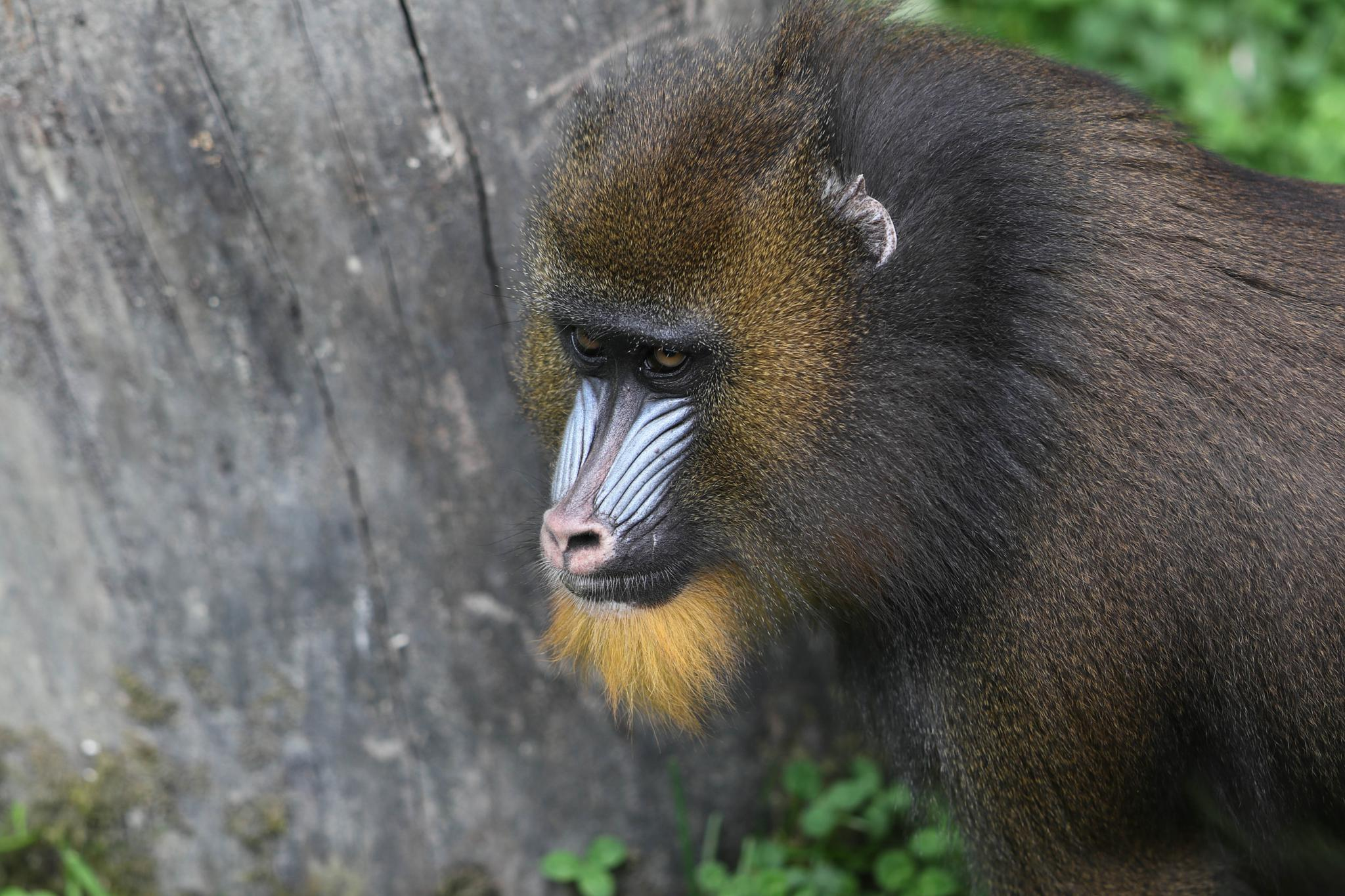 Baboon by emmanuel liegeois