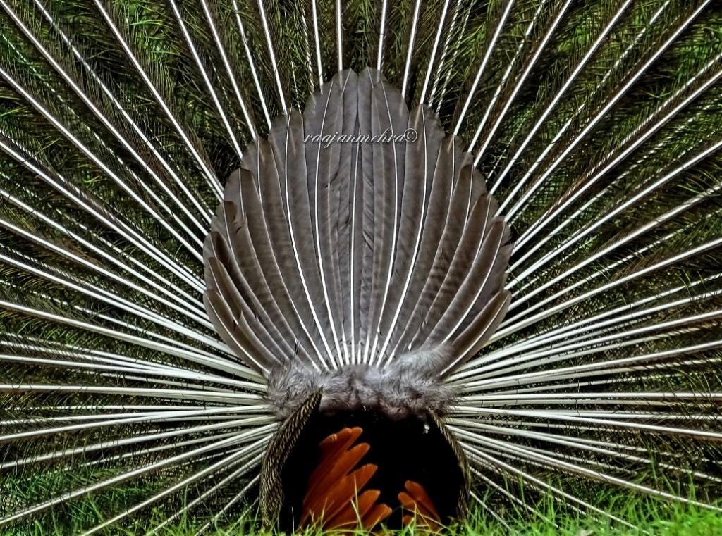 REAR BEAUTY OF A PEACOCK by raajan mehra