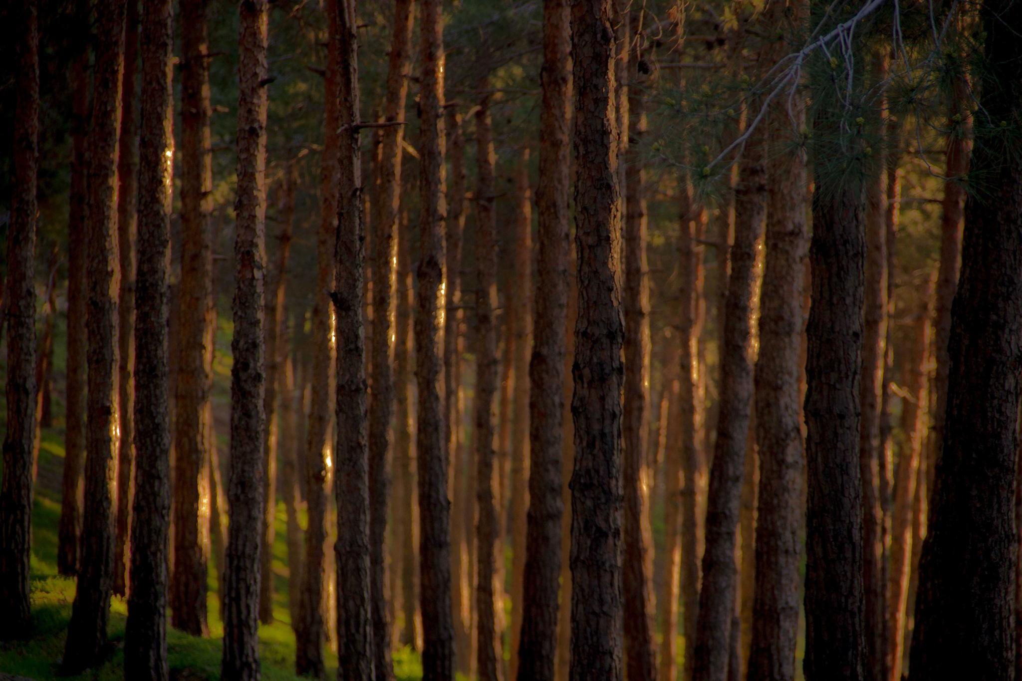 Woods by AminDogoonchi