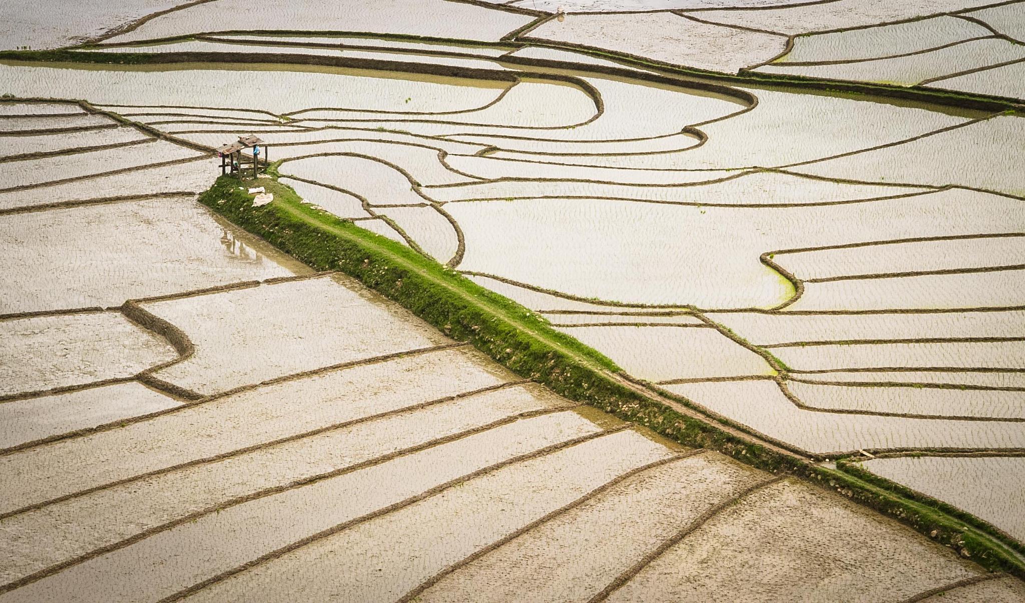 Rice farm by AminDogoonchi