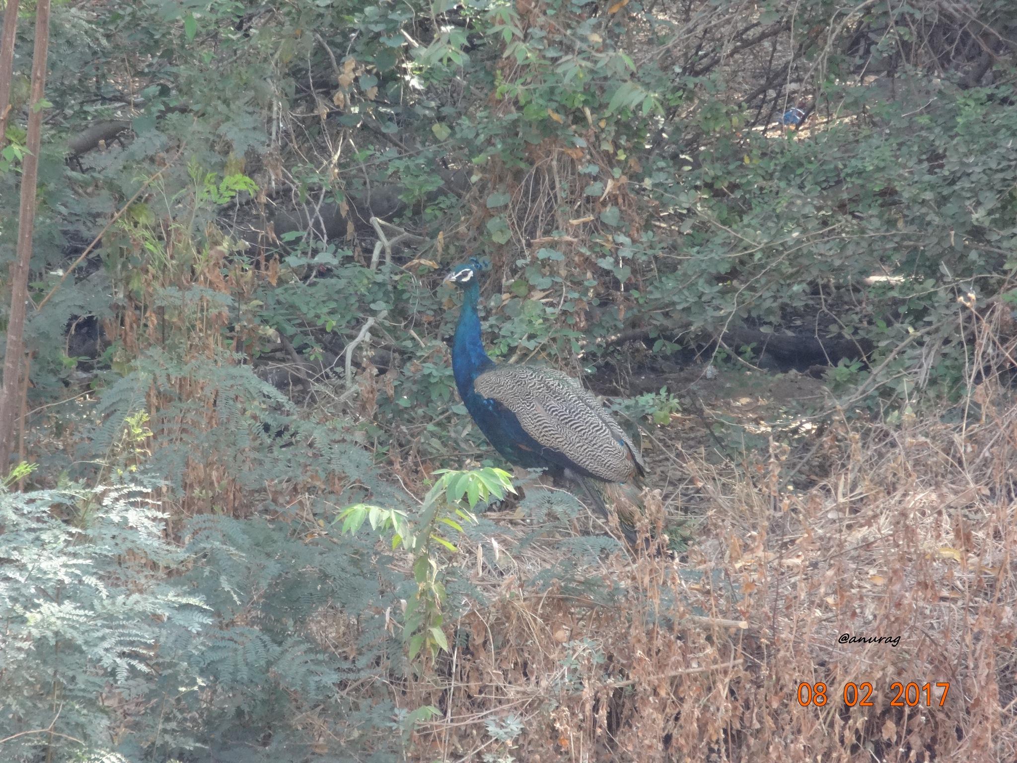 Peacock by anurag