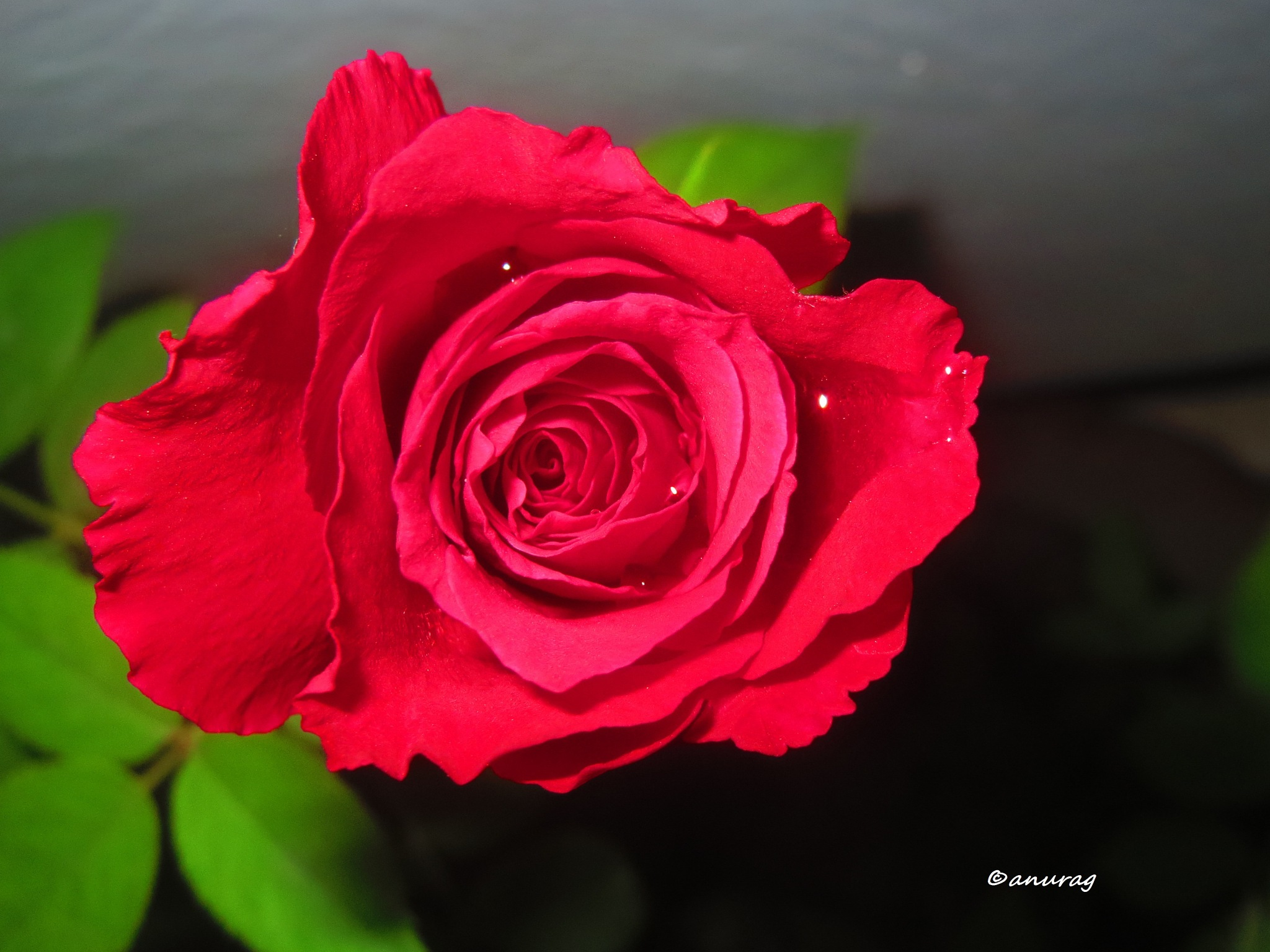 rose by anurag