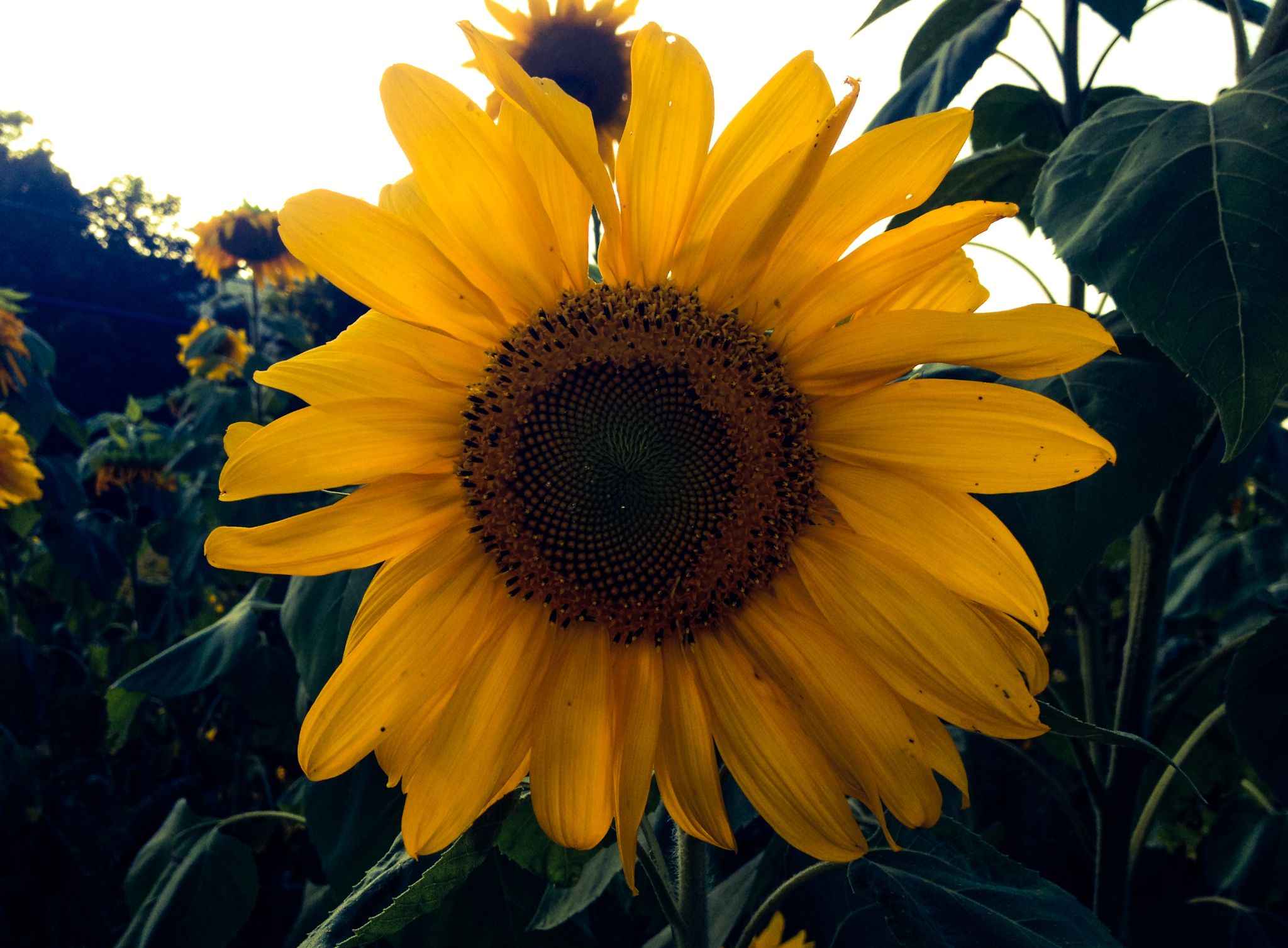 Sunflower by Ruth Silvers