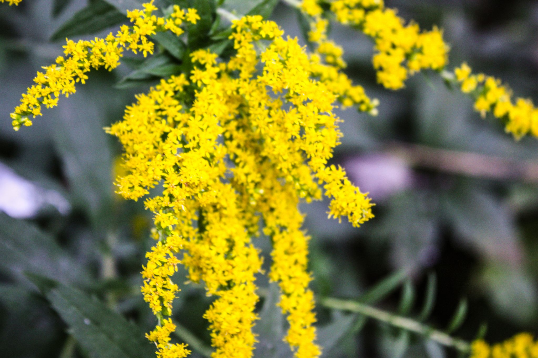 Goldenrod by Ruth Silvers