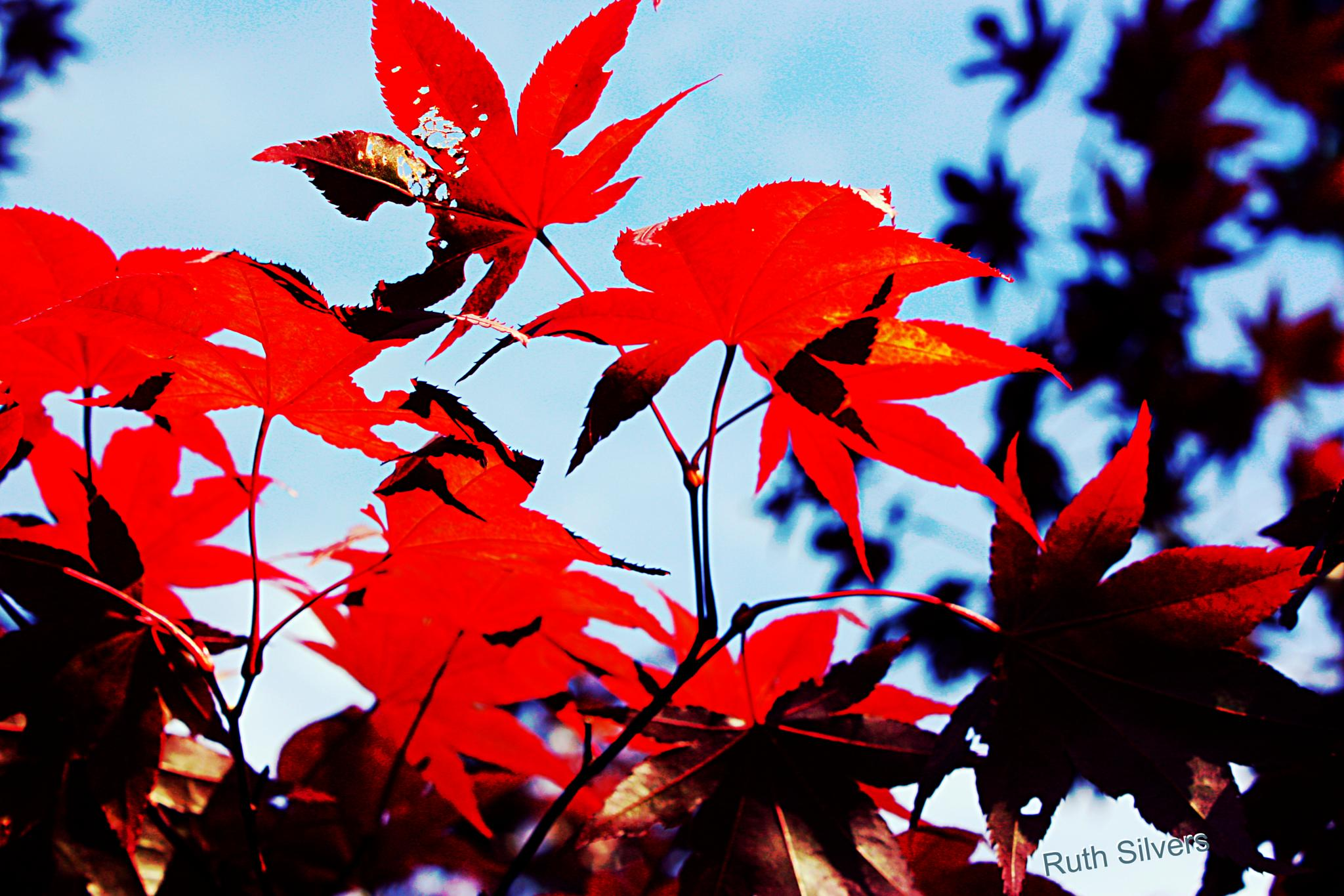 Red leaves by Ruth Silvers