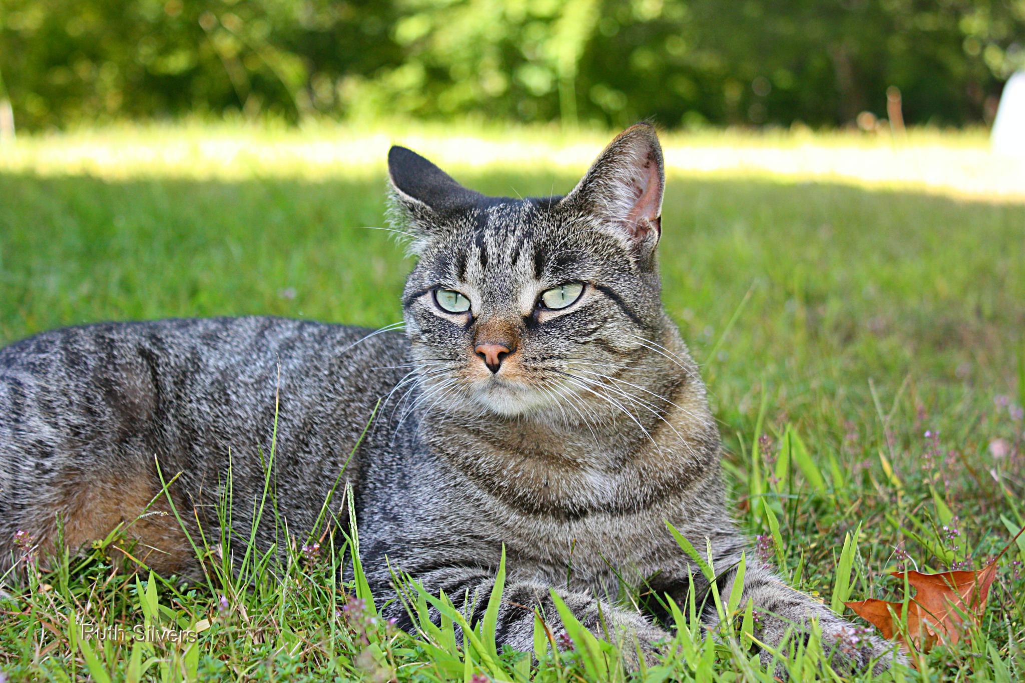 Photo in Animal #tigger #cat #tabby #mine #animal #love #eyes #pet