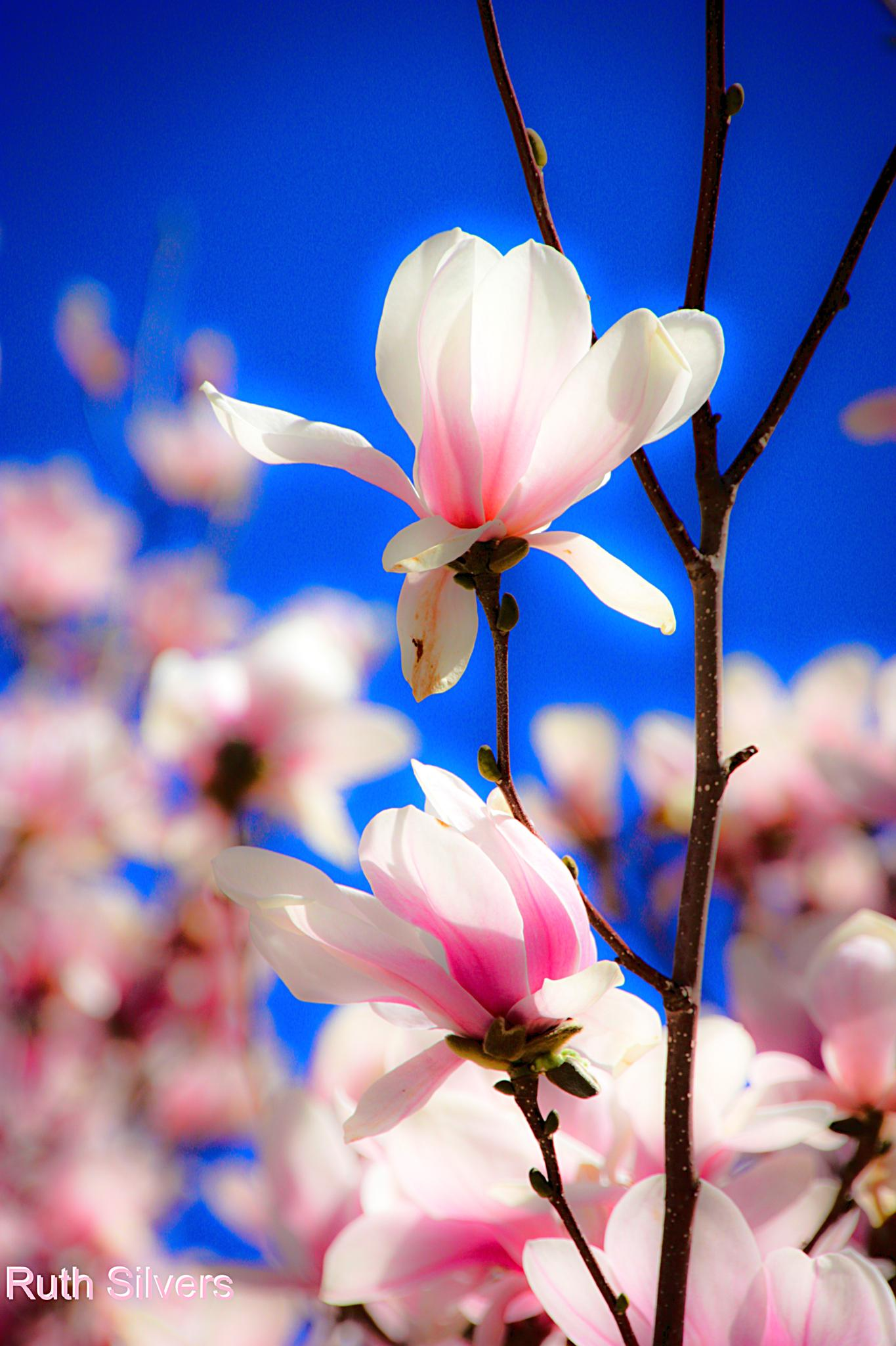 Photo in Nature #magnolias #spring #flowers #blooming #nature