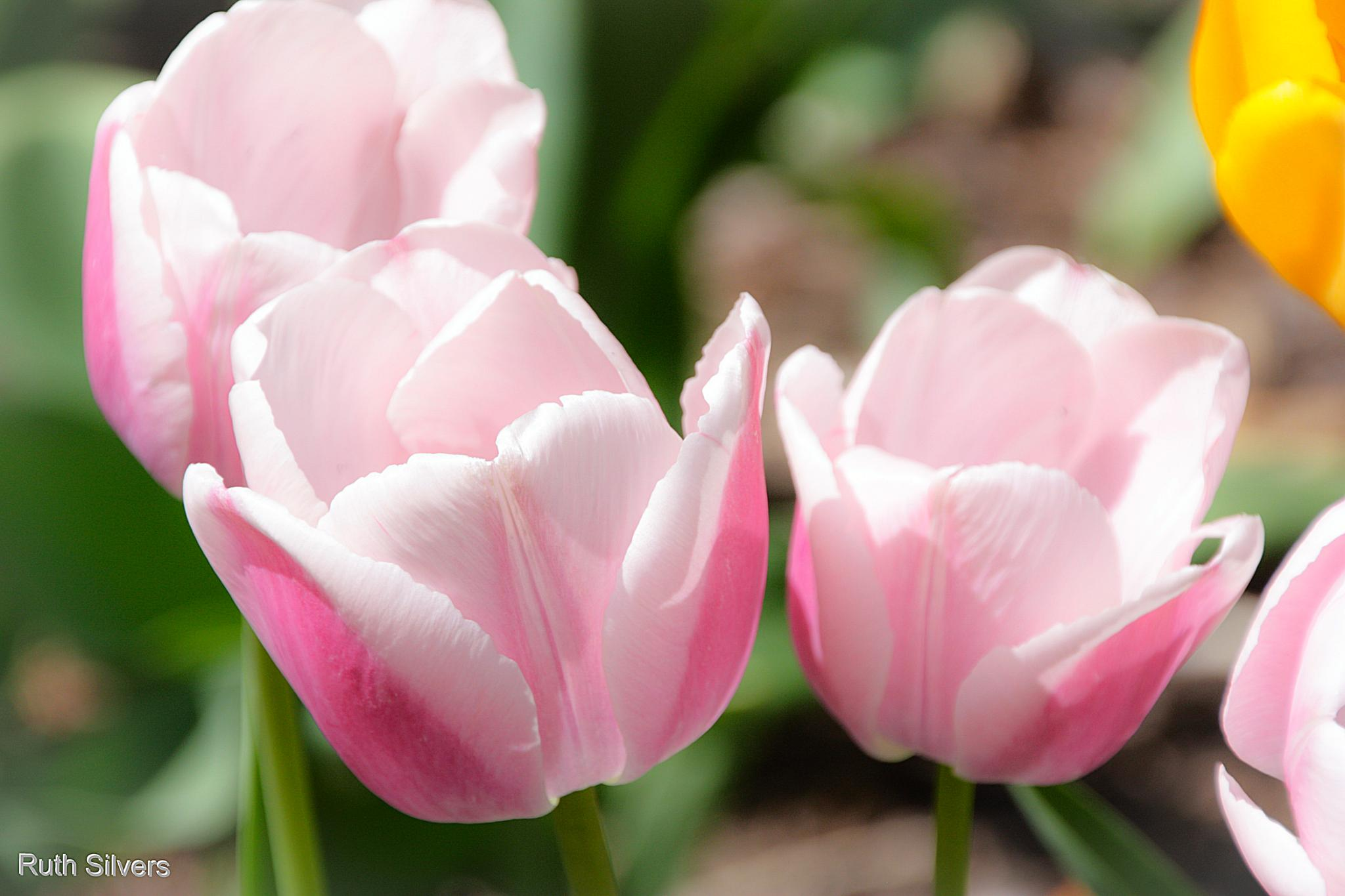 Pink Tulips by Ruth Silvers