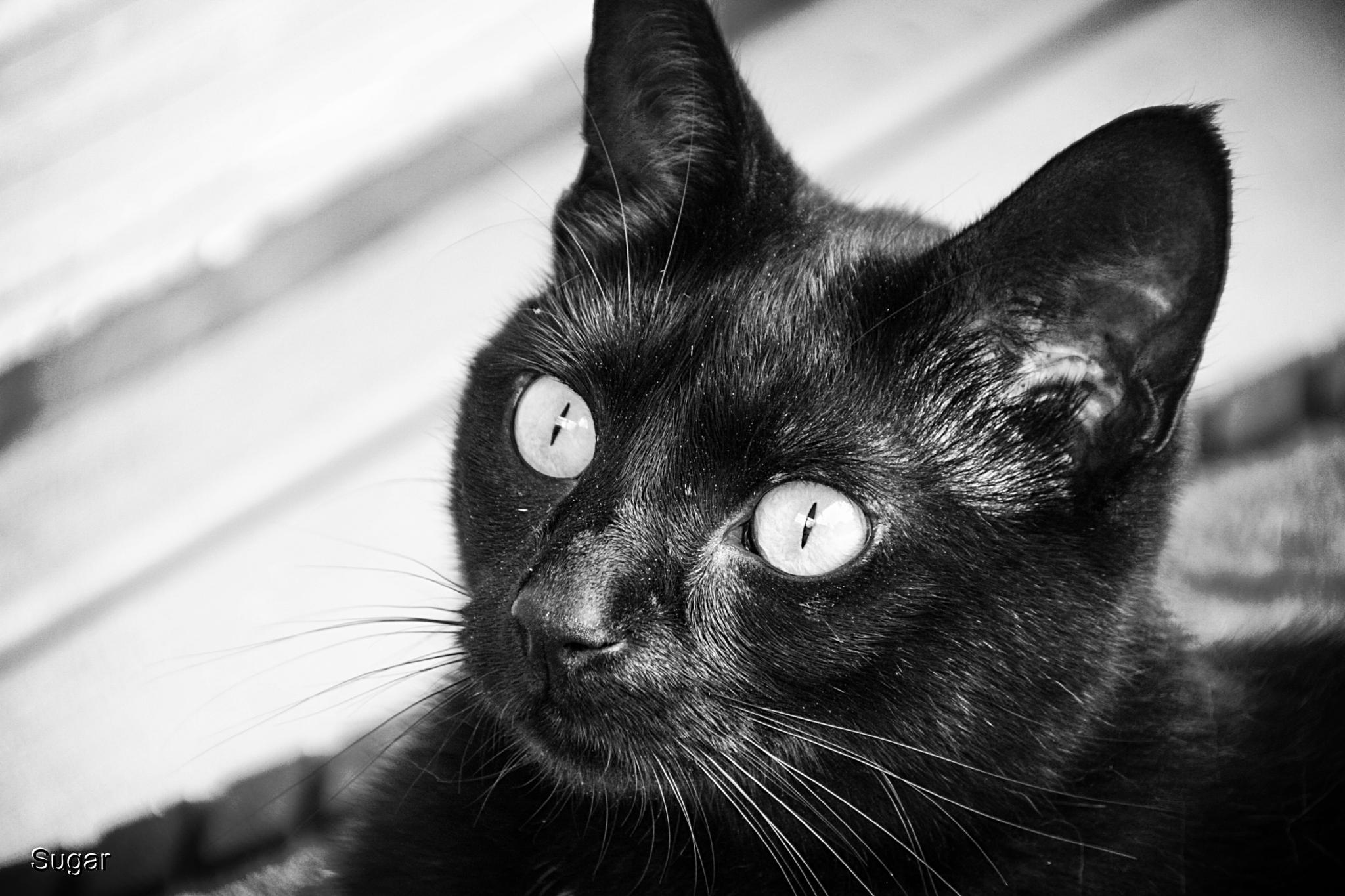 Photo in Animal #funfridays #sugar #cat #black and white #love