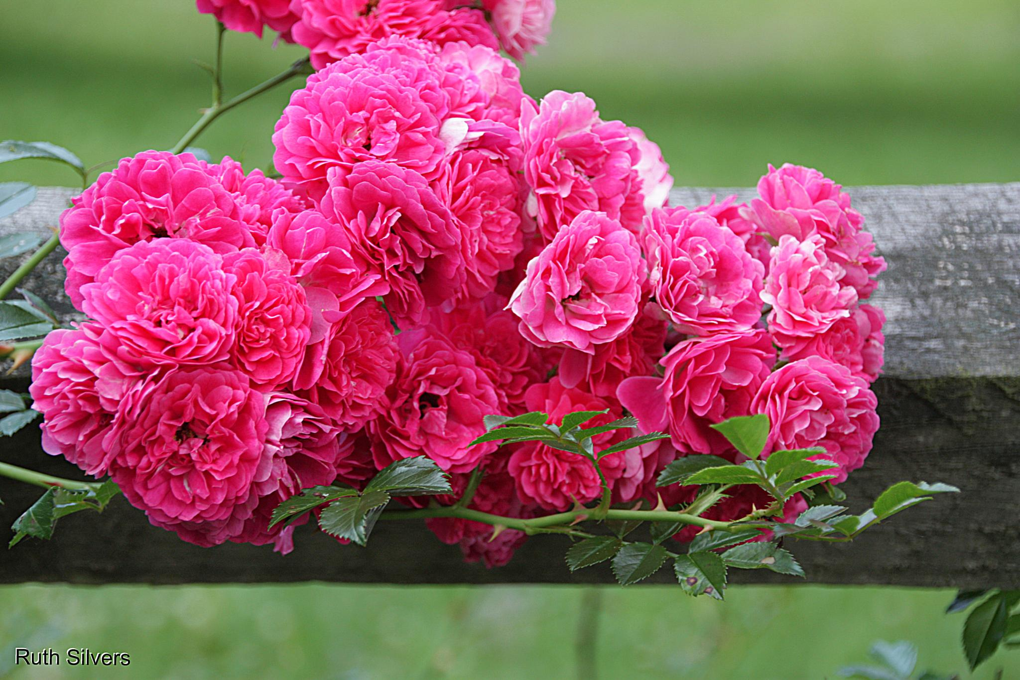 Photo in Nature #fence #roses #pink #pretty #country #nature is amazing
