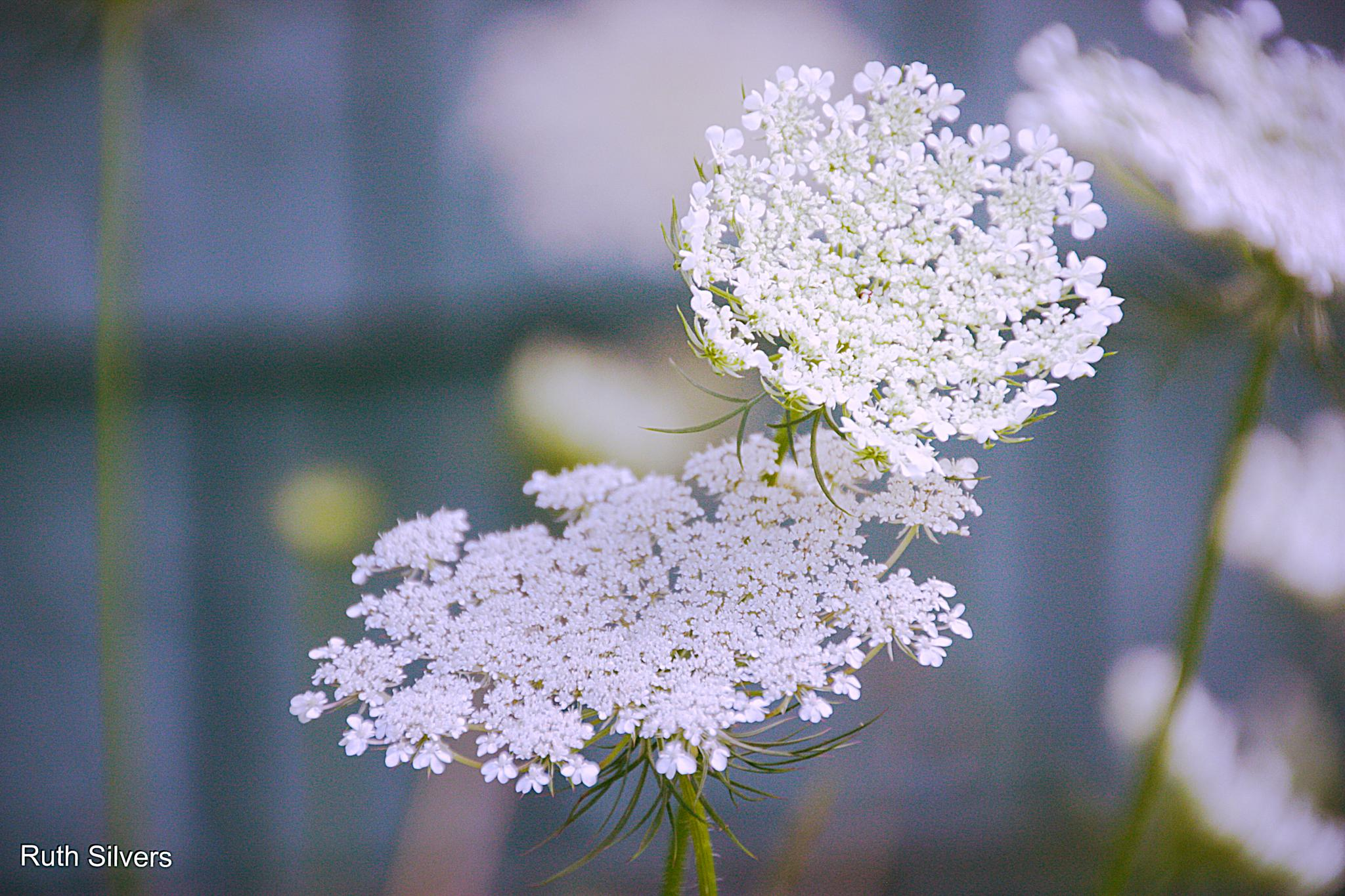 Queen Anne's Lace X 2 by Ruth Silvers
