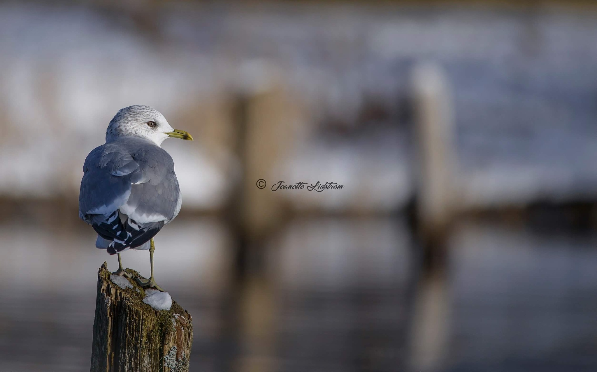 Young seagull by jealid