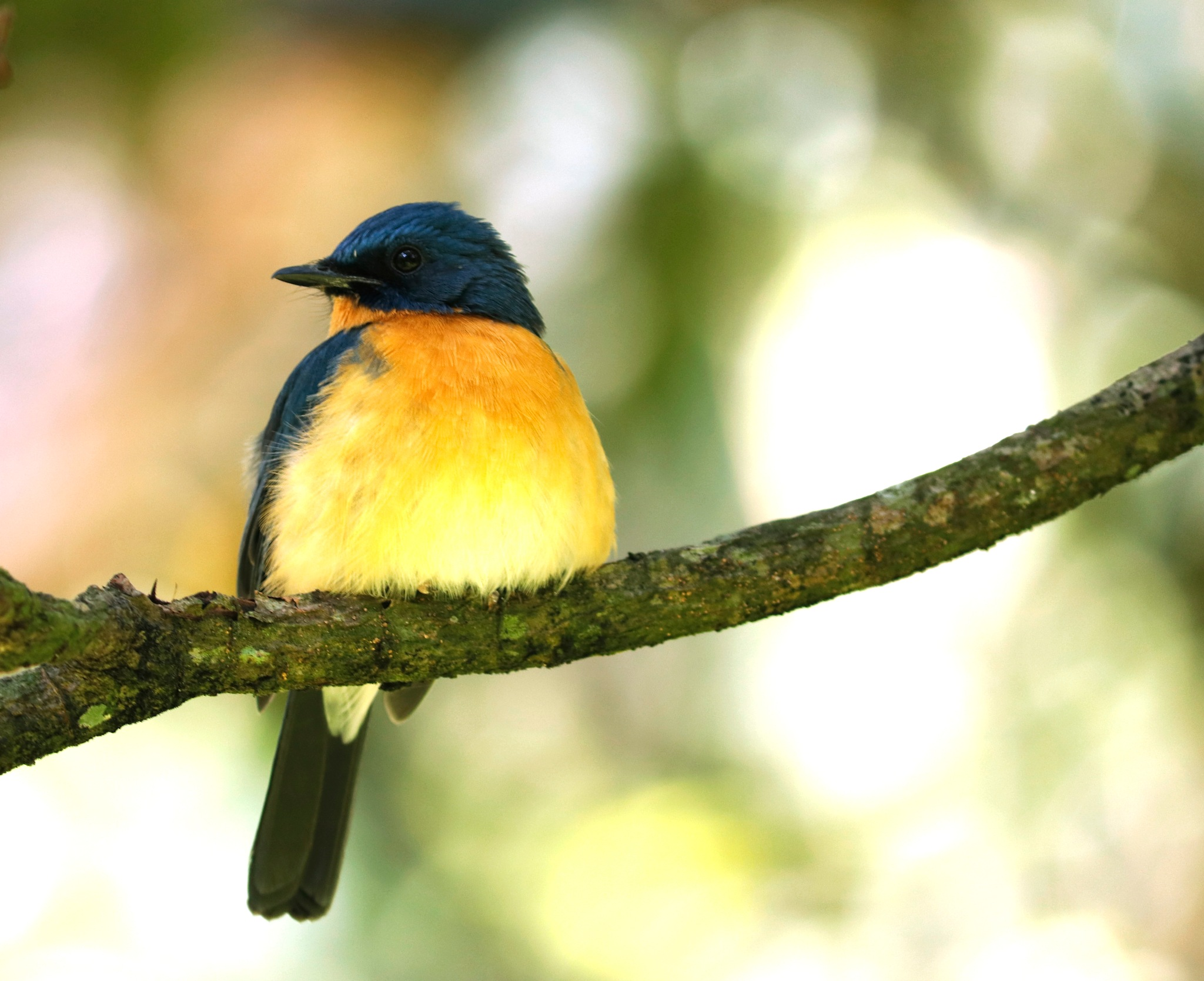 Tickell's Blue Fly catcher by Ravikumar Kanagaraj
