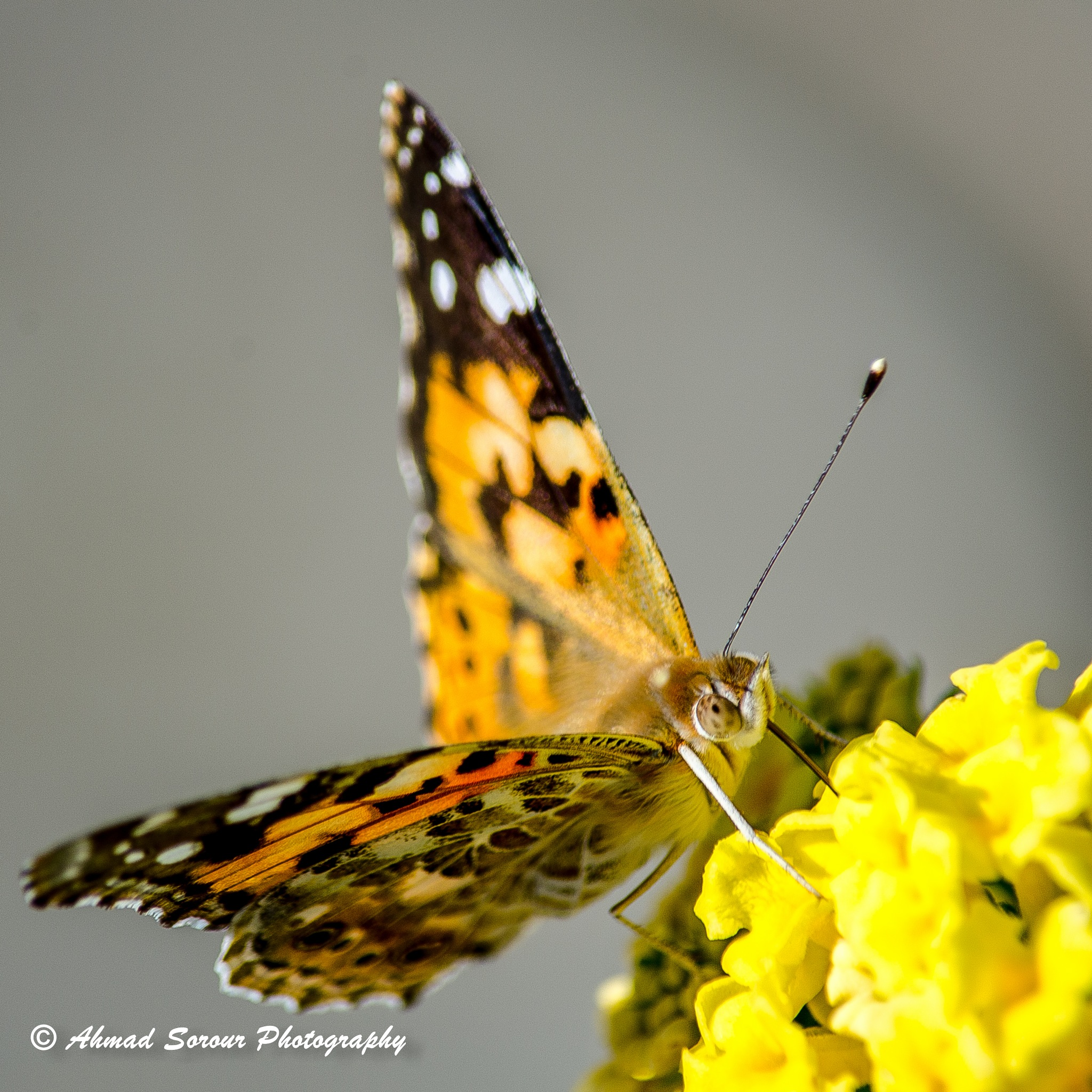 butterfly  by Ahmad Sorour