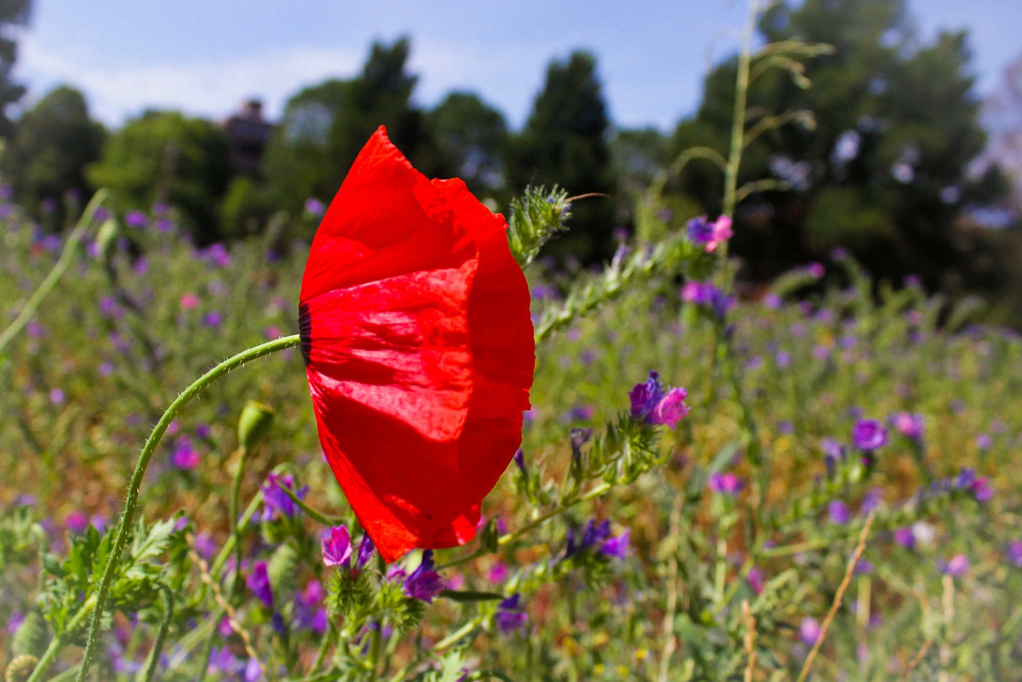 Wild Poppy by Poppy May Mccollum