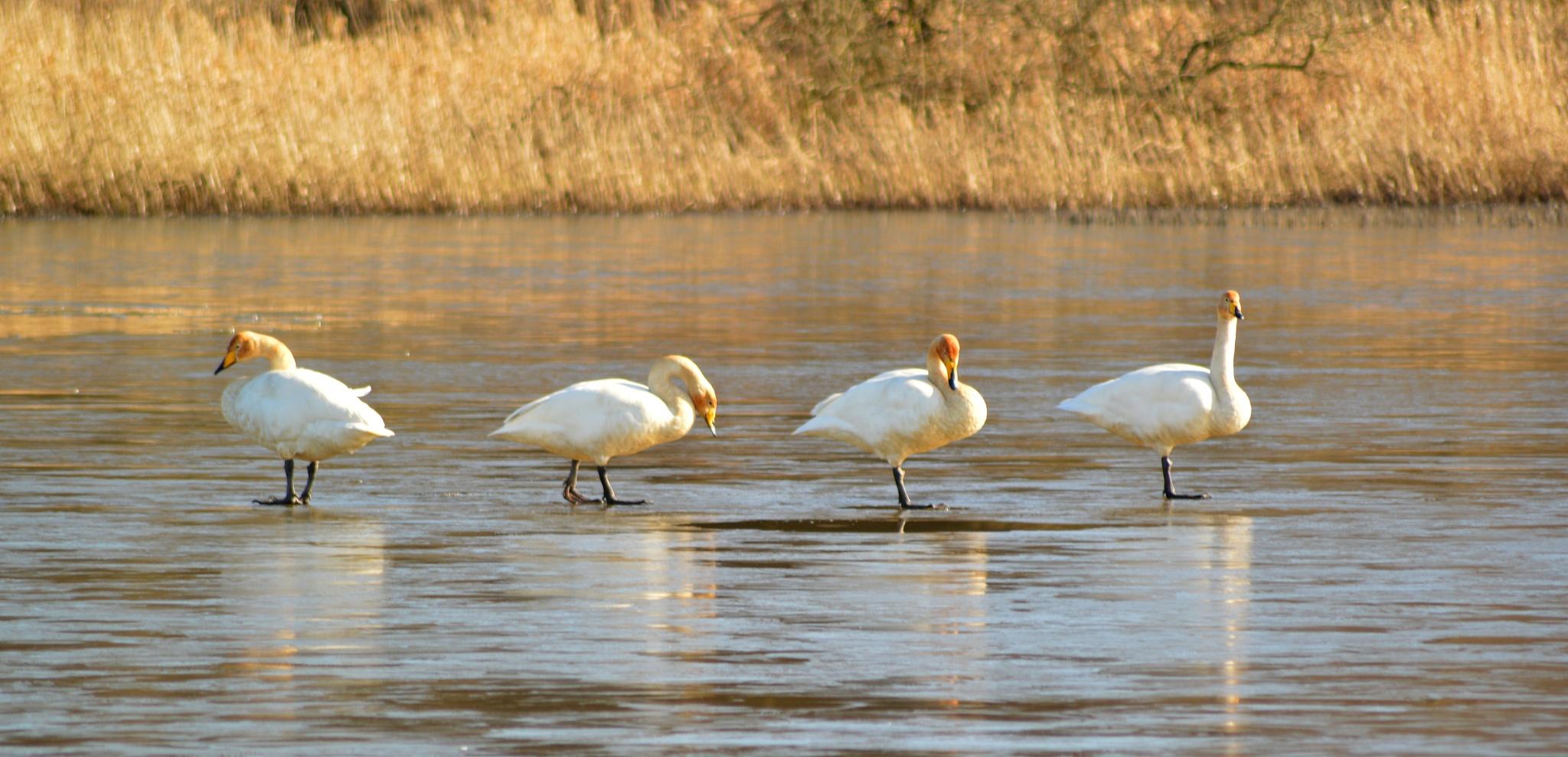 Whooper Swans by linda reid