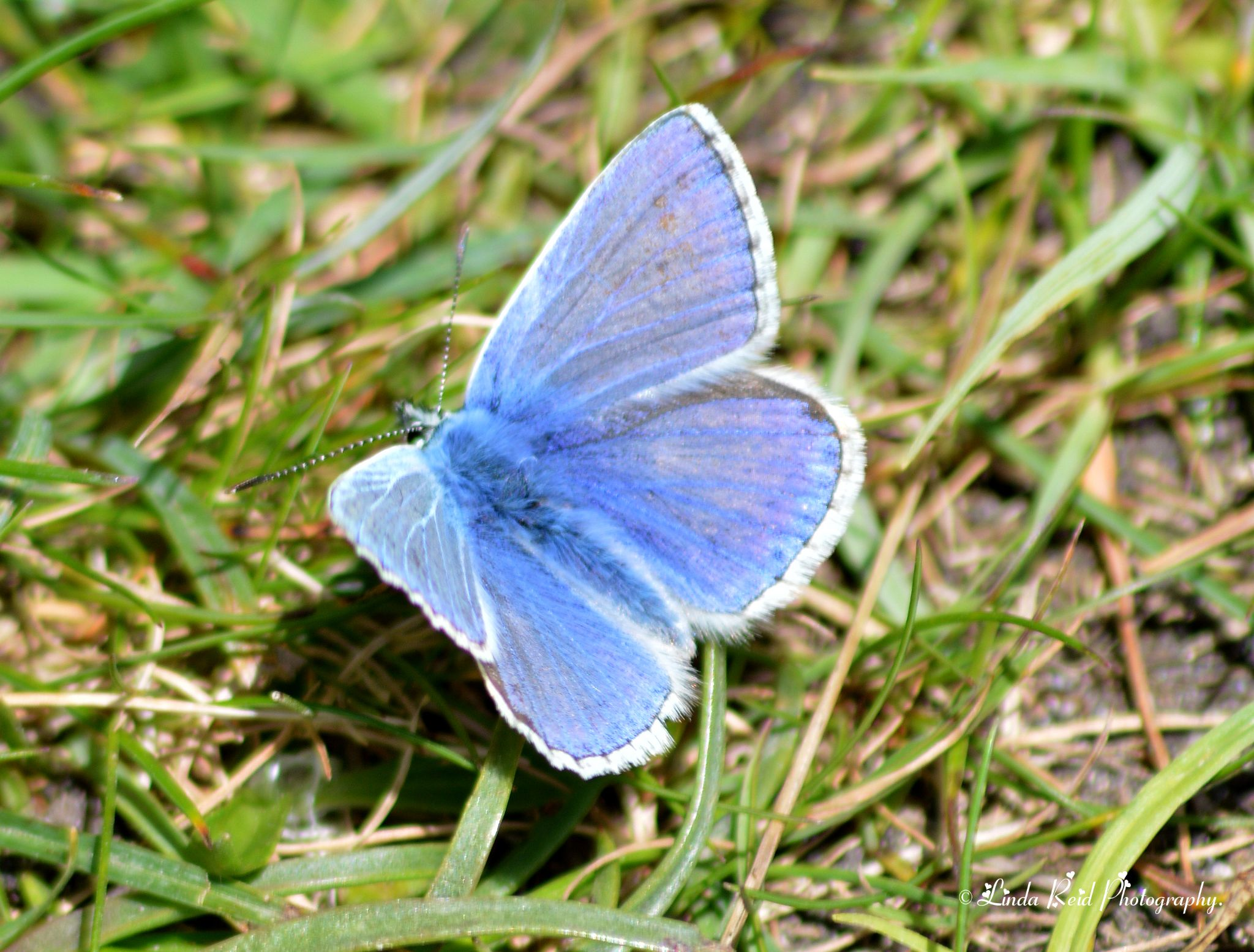 Holly Blue  (male) butterfly by linda reid