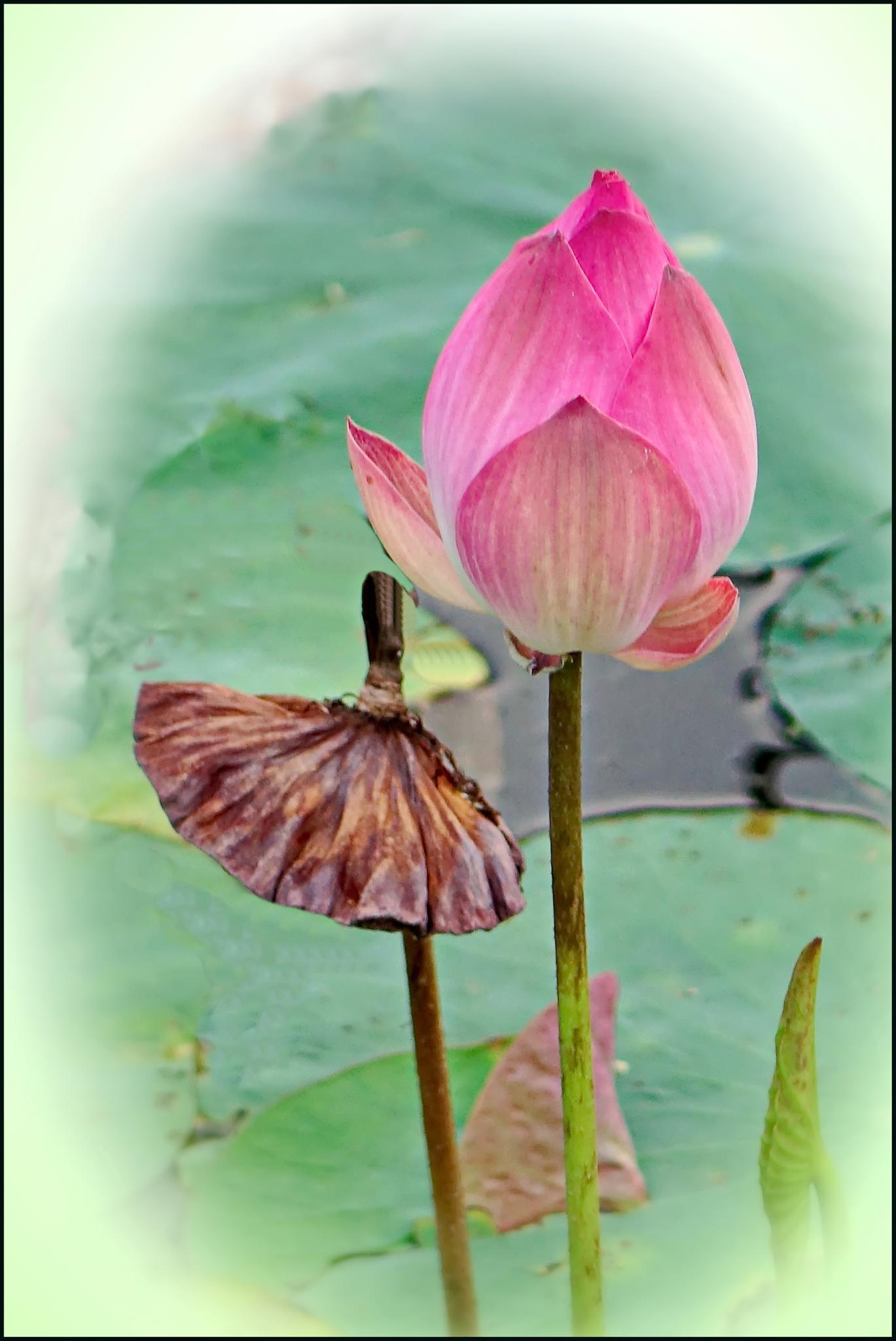 Photo in Nature #flower #lotus #nature
