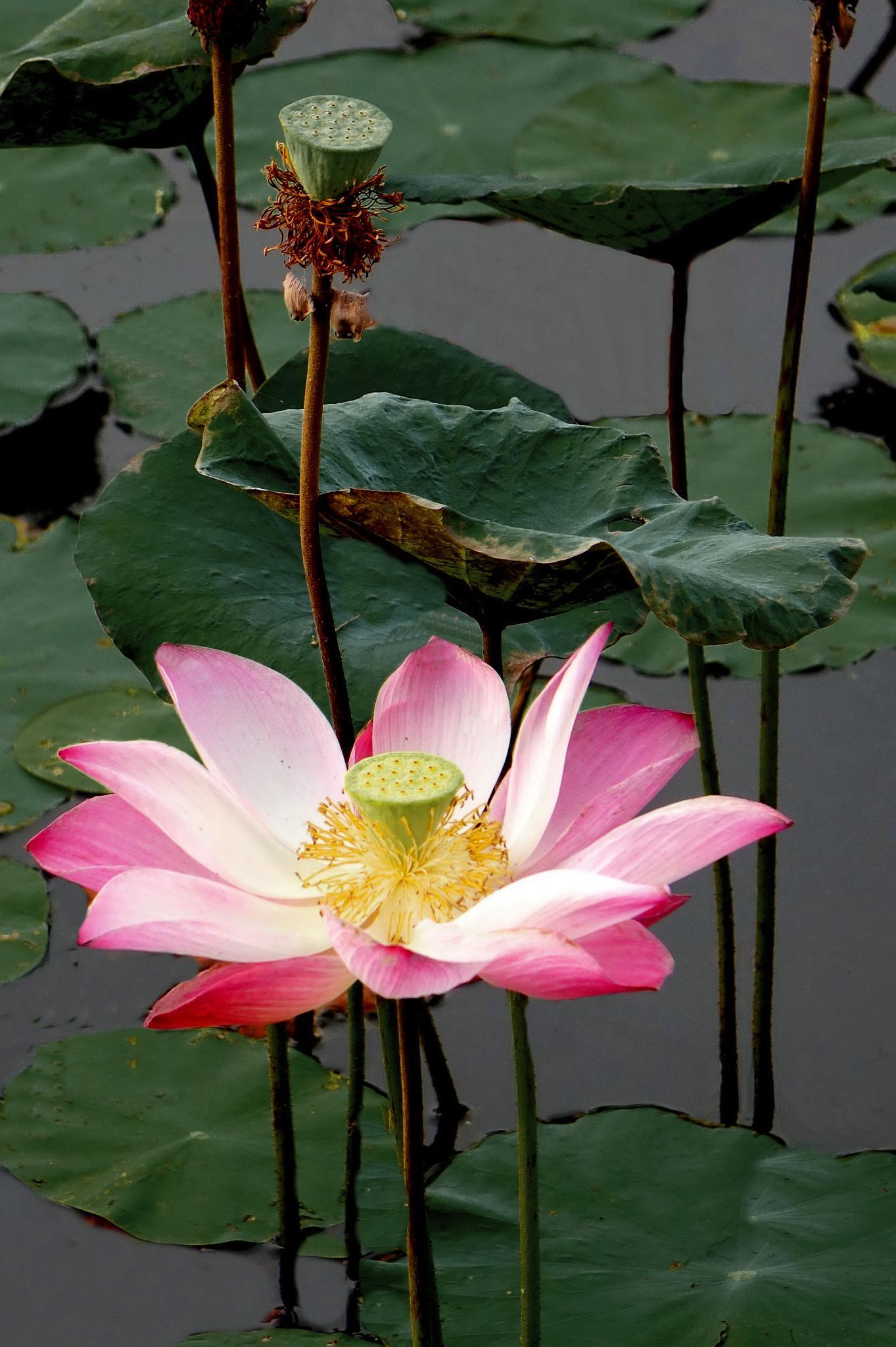 lotus by Looi Chang